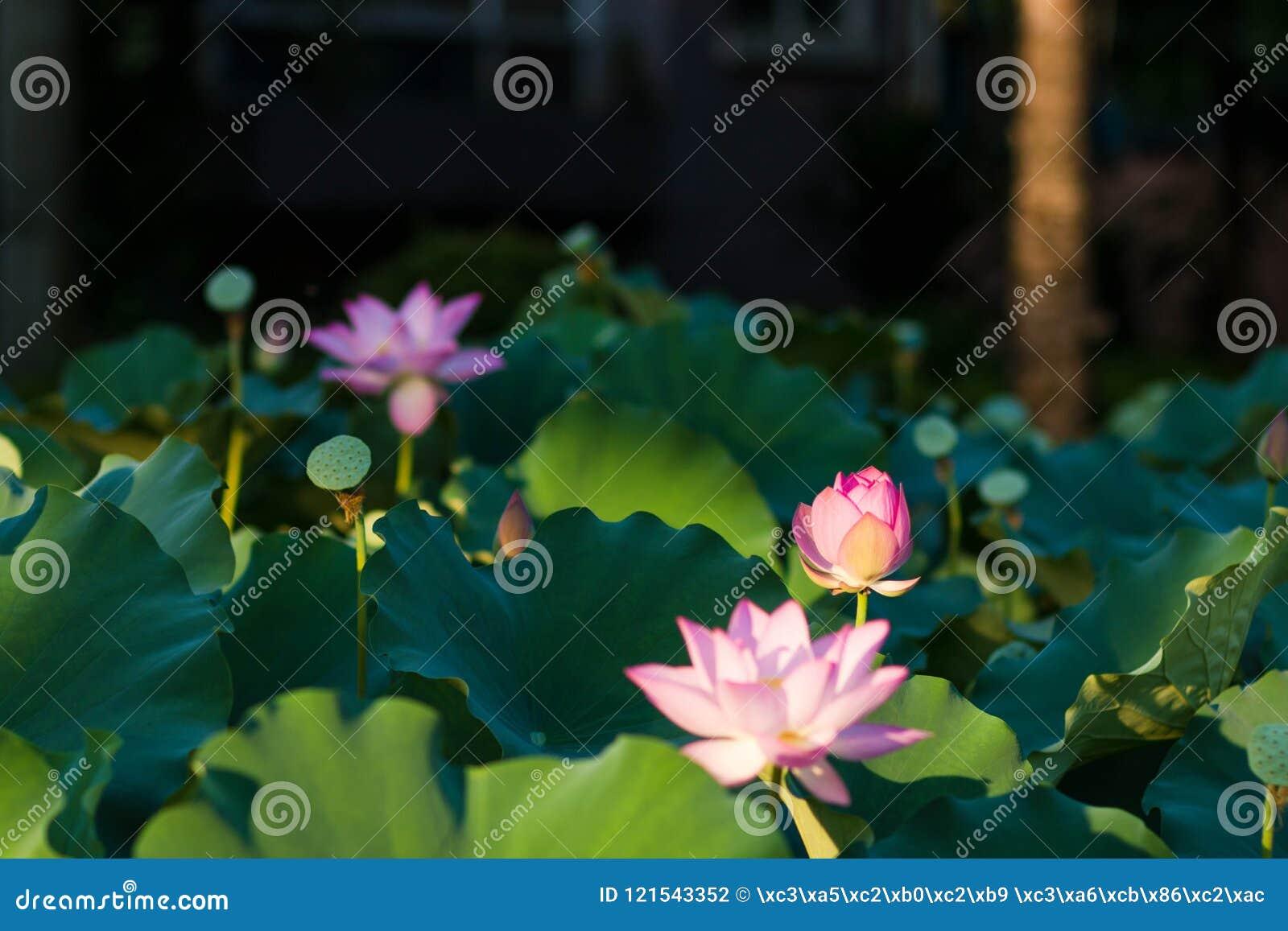 Blom för Lotus blommor i parkera