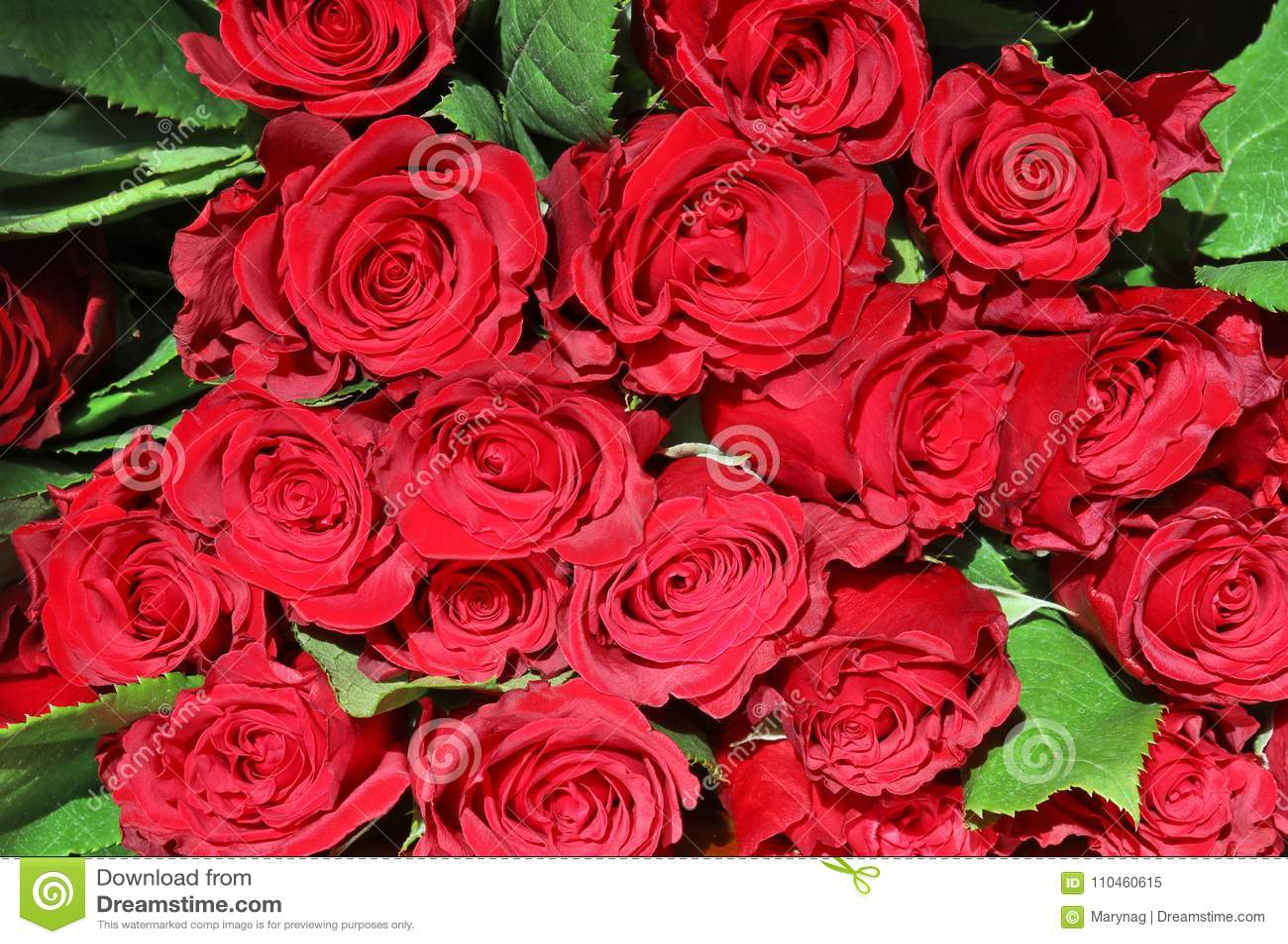 Blom- röda ro för bakgrund