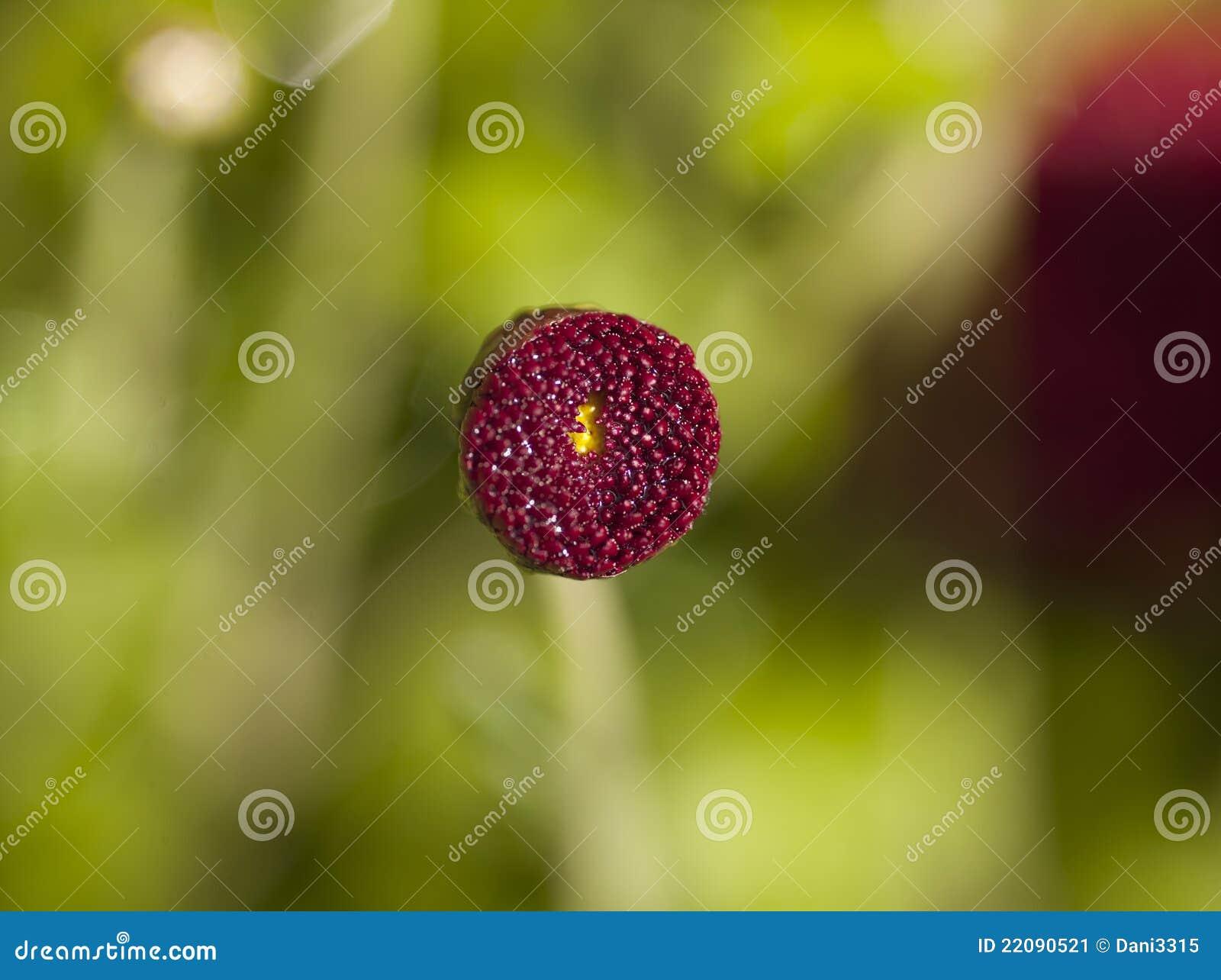 Blomcloseblomma upp