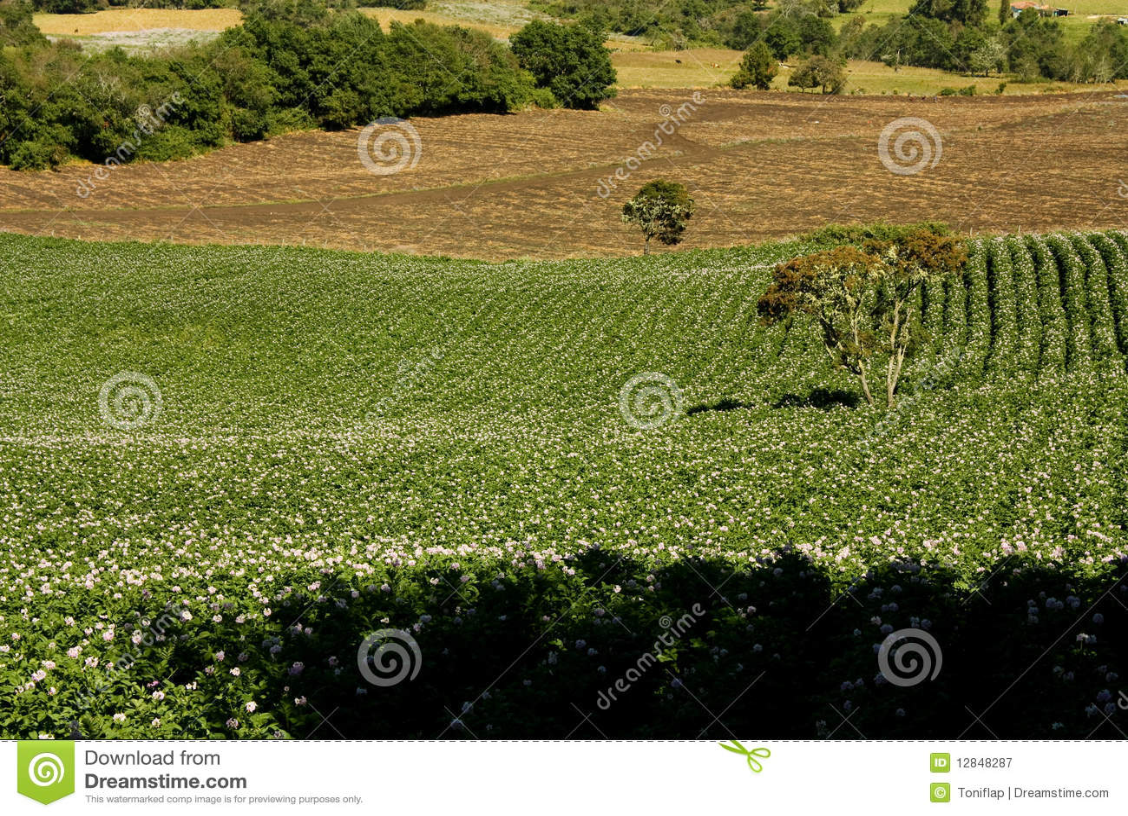 Blomfält planterade potatisar