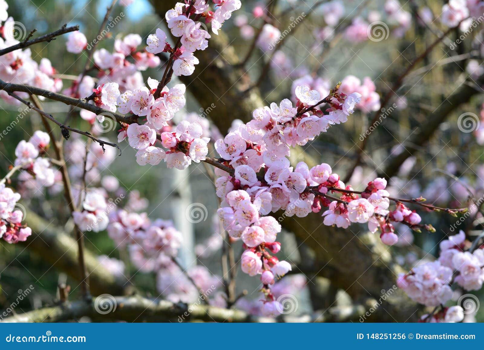 Blomma aprikos, rosa härliga kronblad