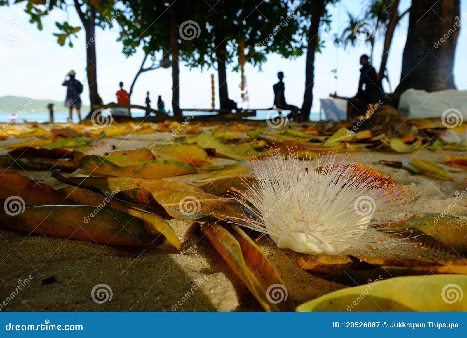 Blomma asiatica Barringtonia för fiskgiftträd och sidor på th
