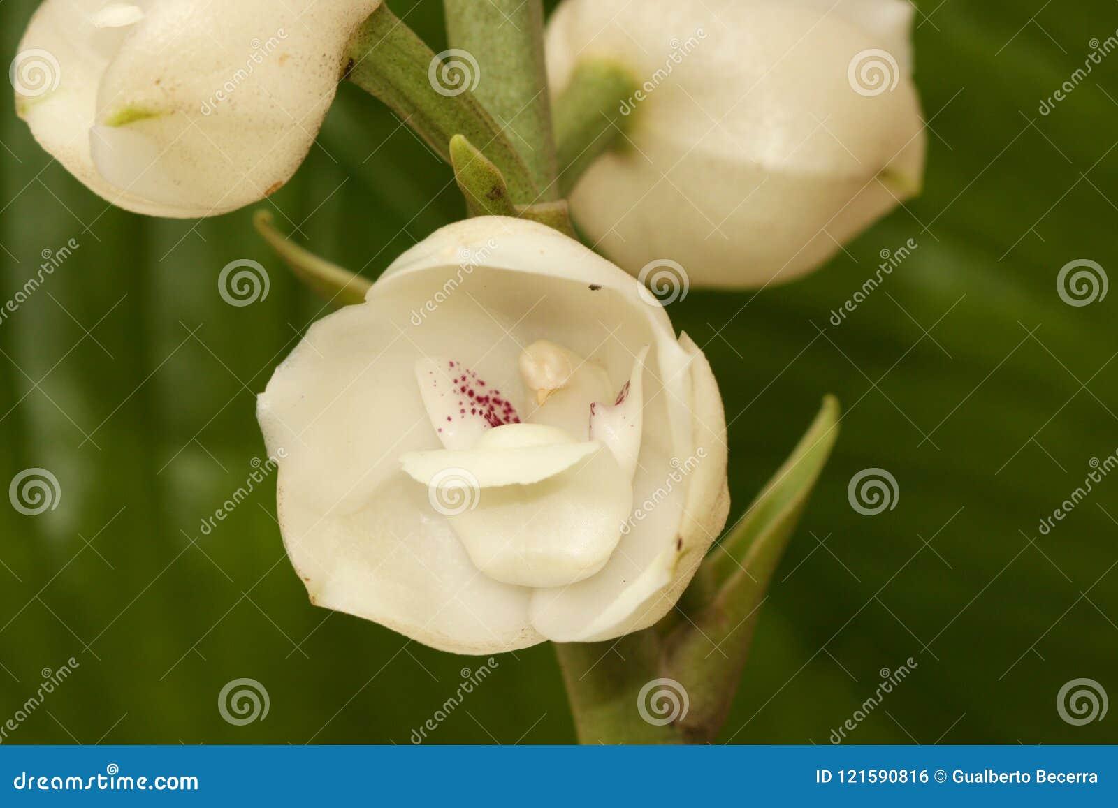 Blomma av den heliga anden
