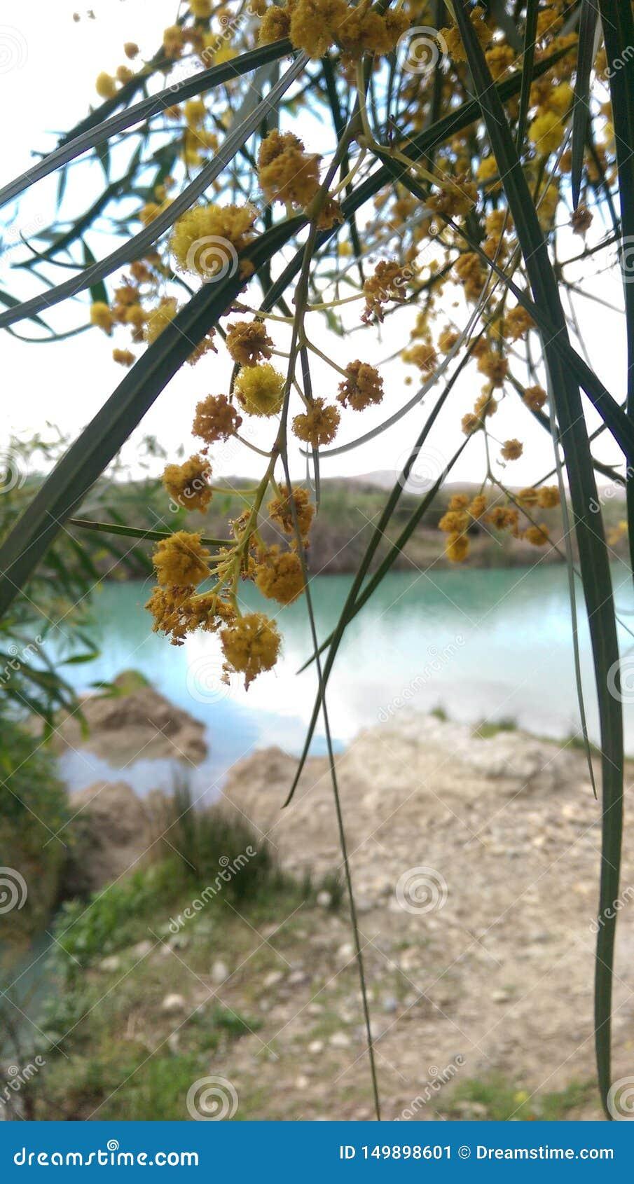 Blomma av ett mimosaträd