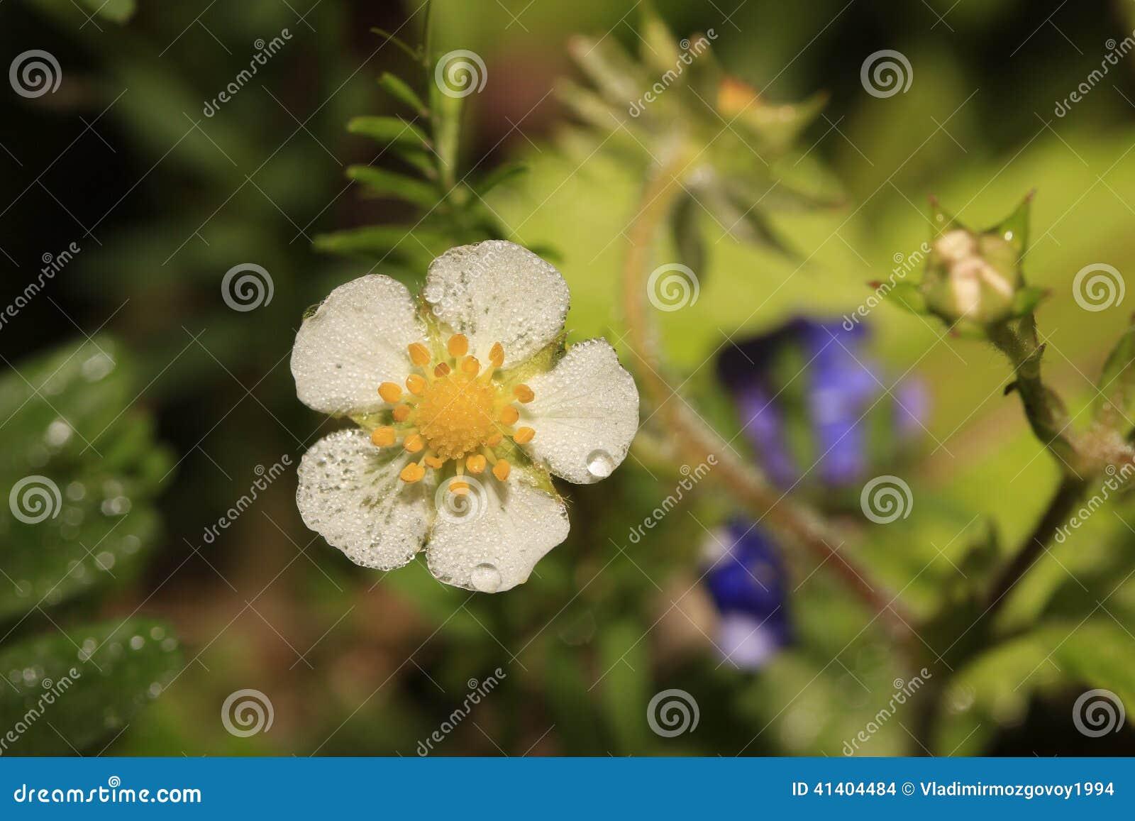Blomma av jordgubben (véscaen för Fragà ¡ ria)
