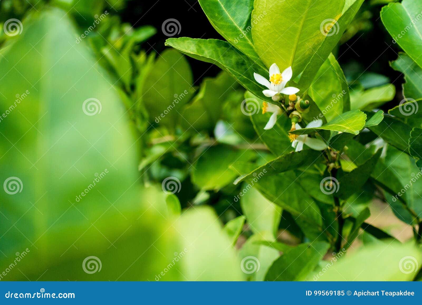 Blomma av limefrukt