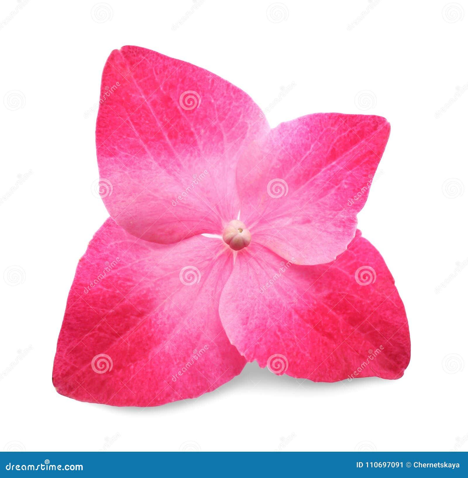 Blomma av rosa hortensia