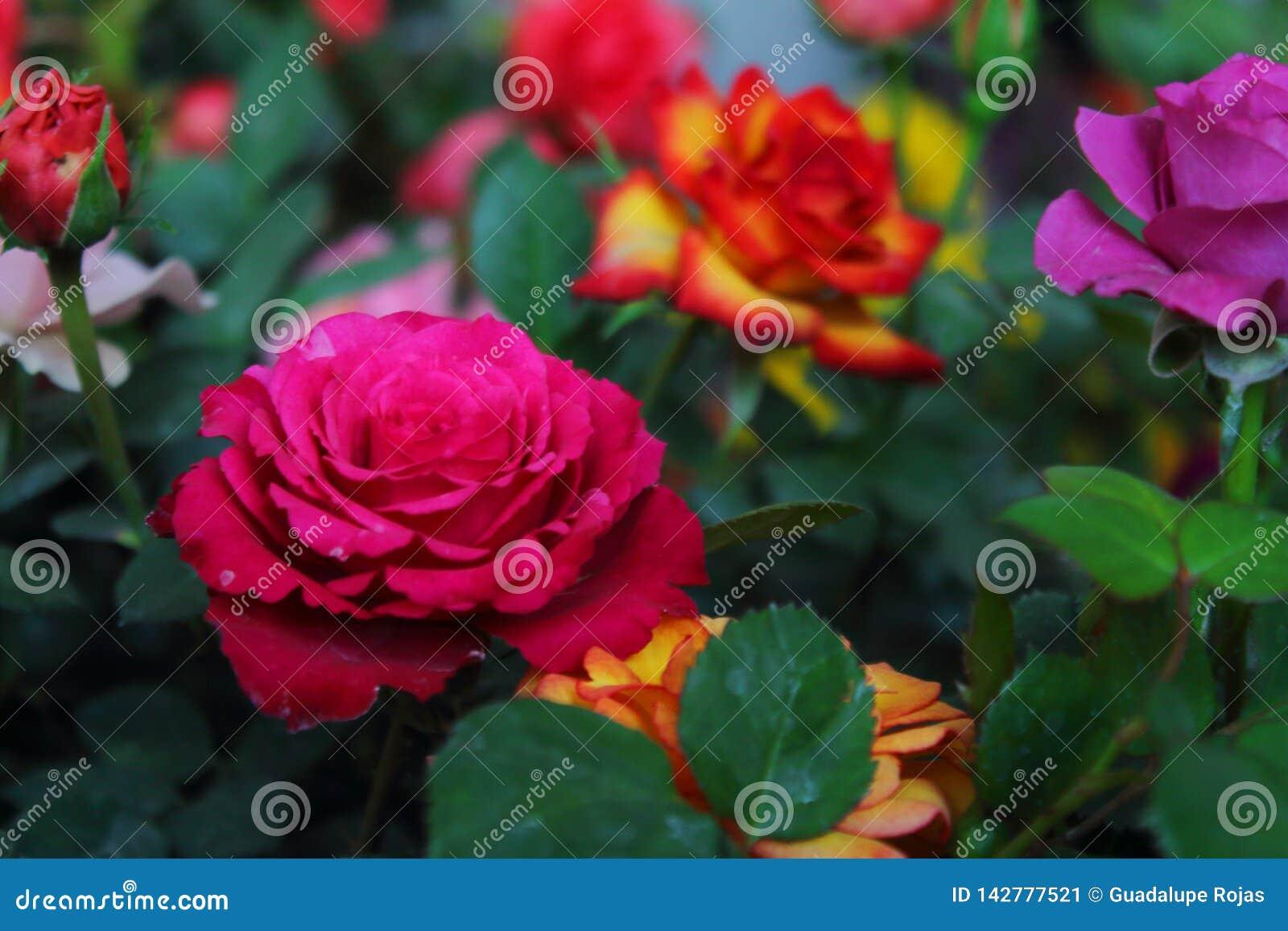 Blomma av rosen, med stora hjärta-formade kronblad, ryggar på stammen, ljusa och omväxlande färger som är vita som är rosa som är