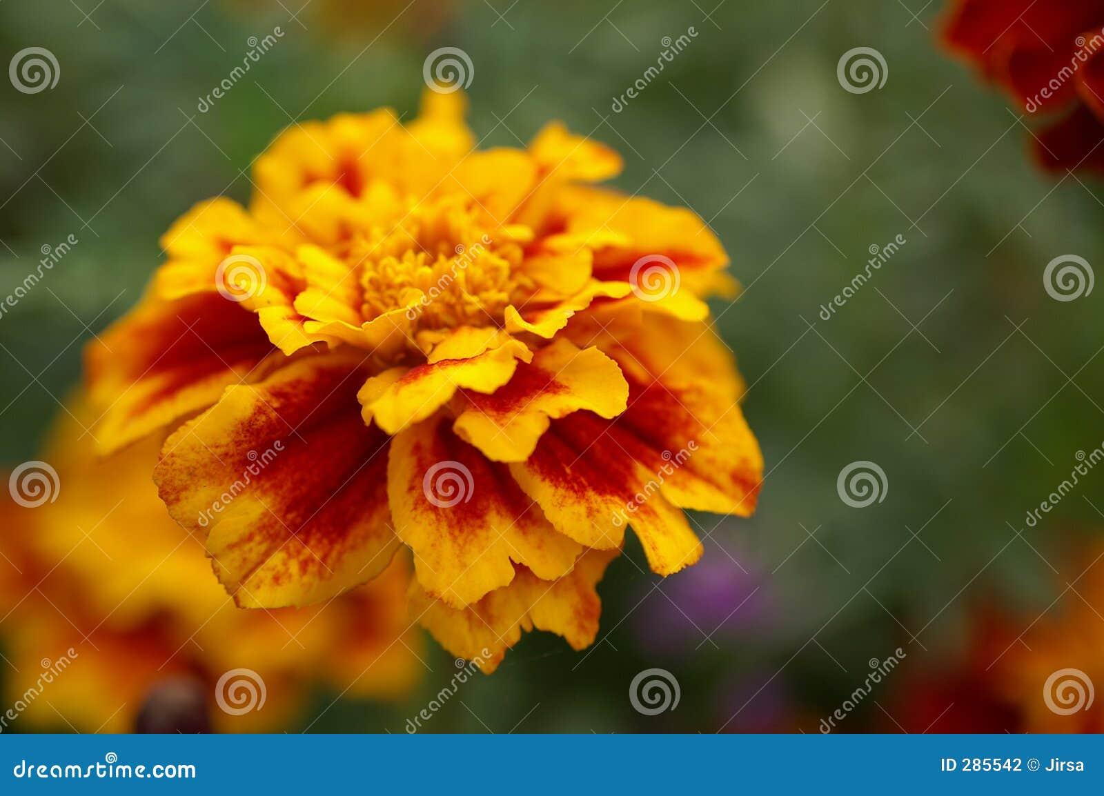 Blomma blomma