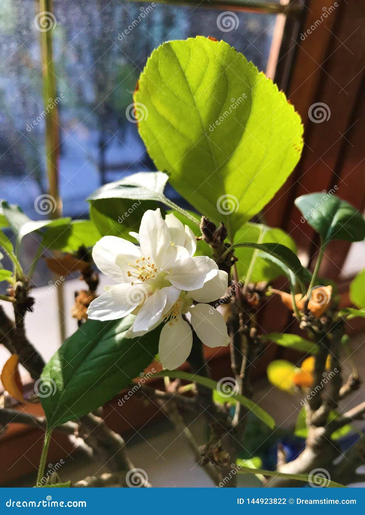 Blomma bonsai för äppleträd på fönstret