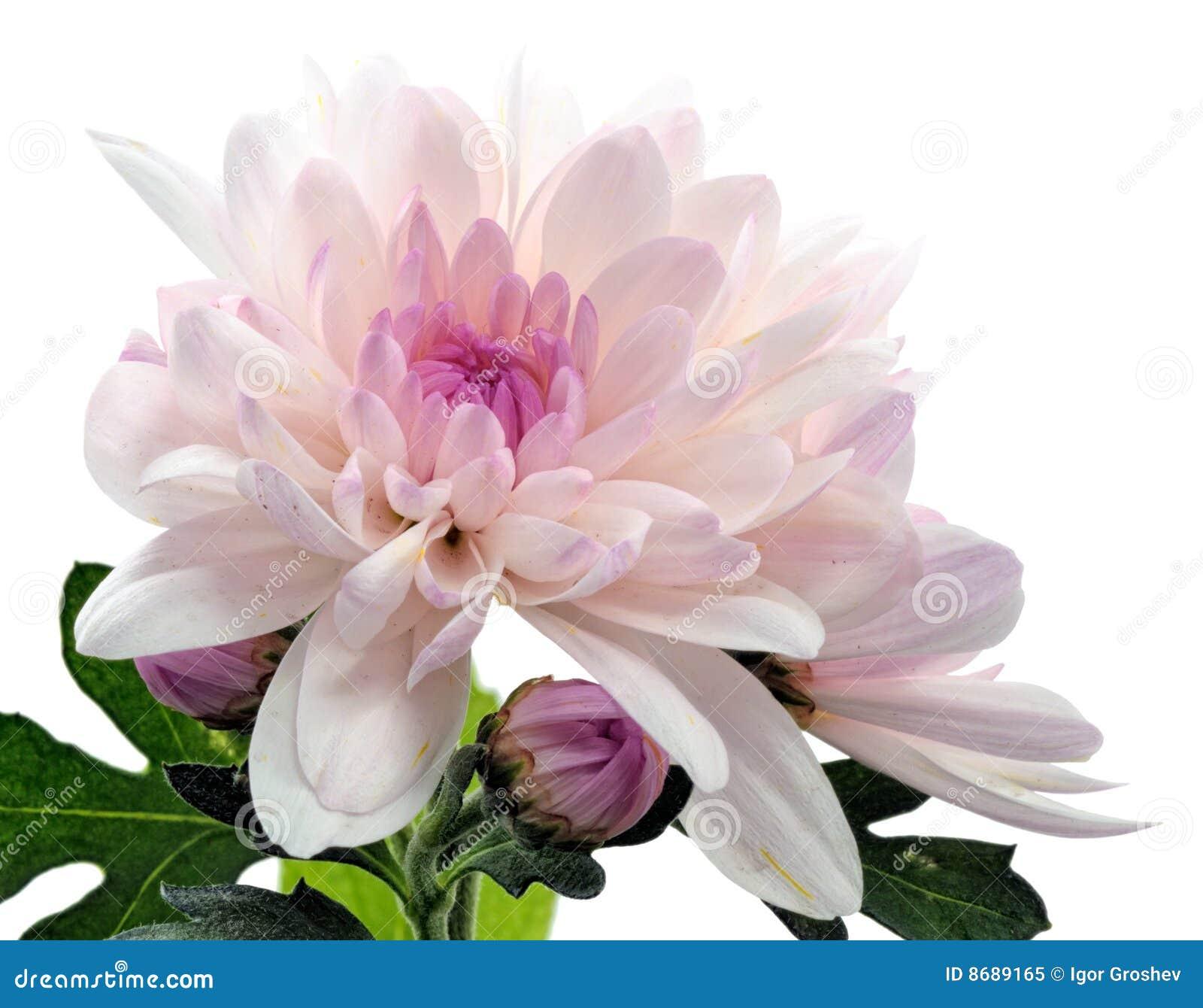 Blomma chrysanthemum