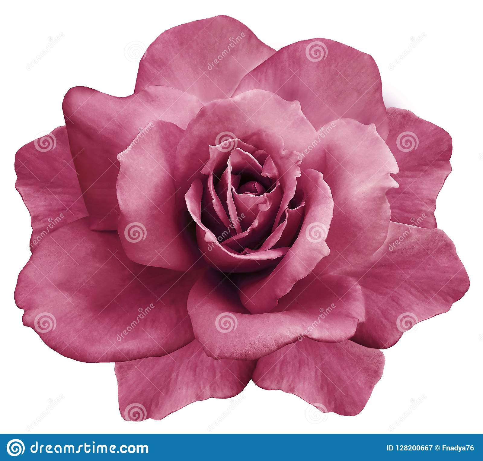 Blomma den isolerade rosa färgrosen på en vit bakgrund closeup element för klockajuldesign