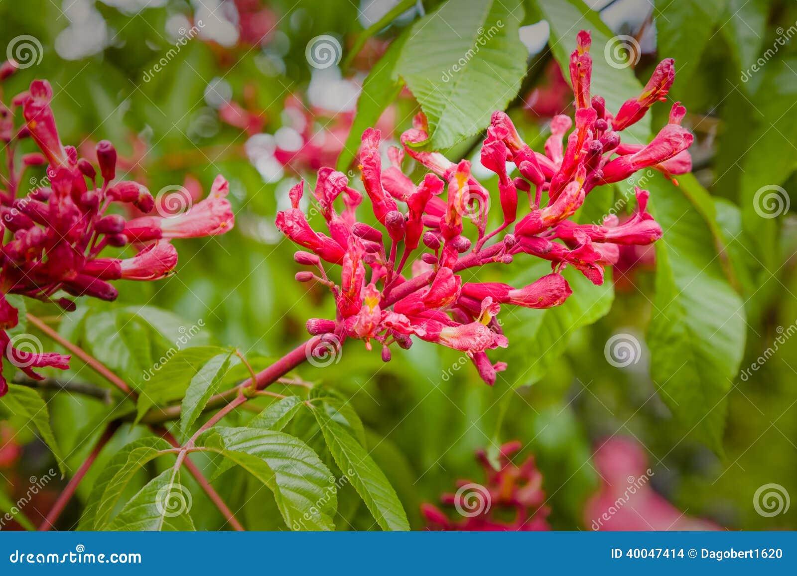 Blomma den röda kastanjen
