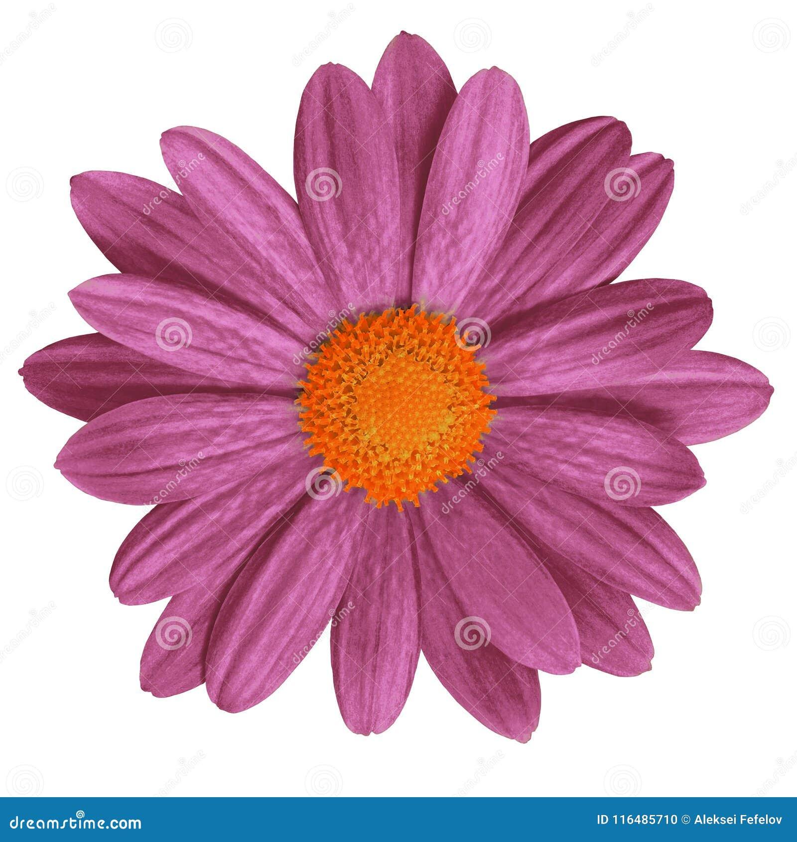 Blomma den rödbruna orange tusenskönan som isoleras på vit bakgrund Närbild element för klockajuldesign