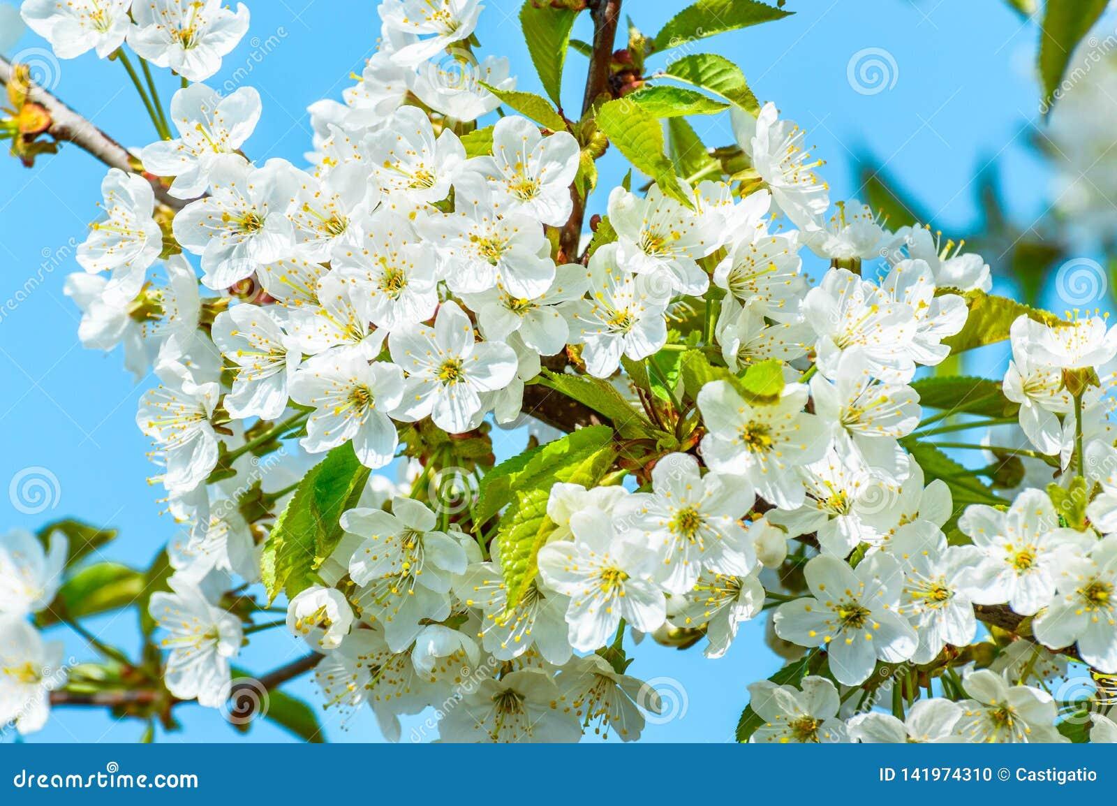 Blomma det körsbärsröda trädet, mycket små vita blommor mot den blåa himlen