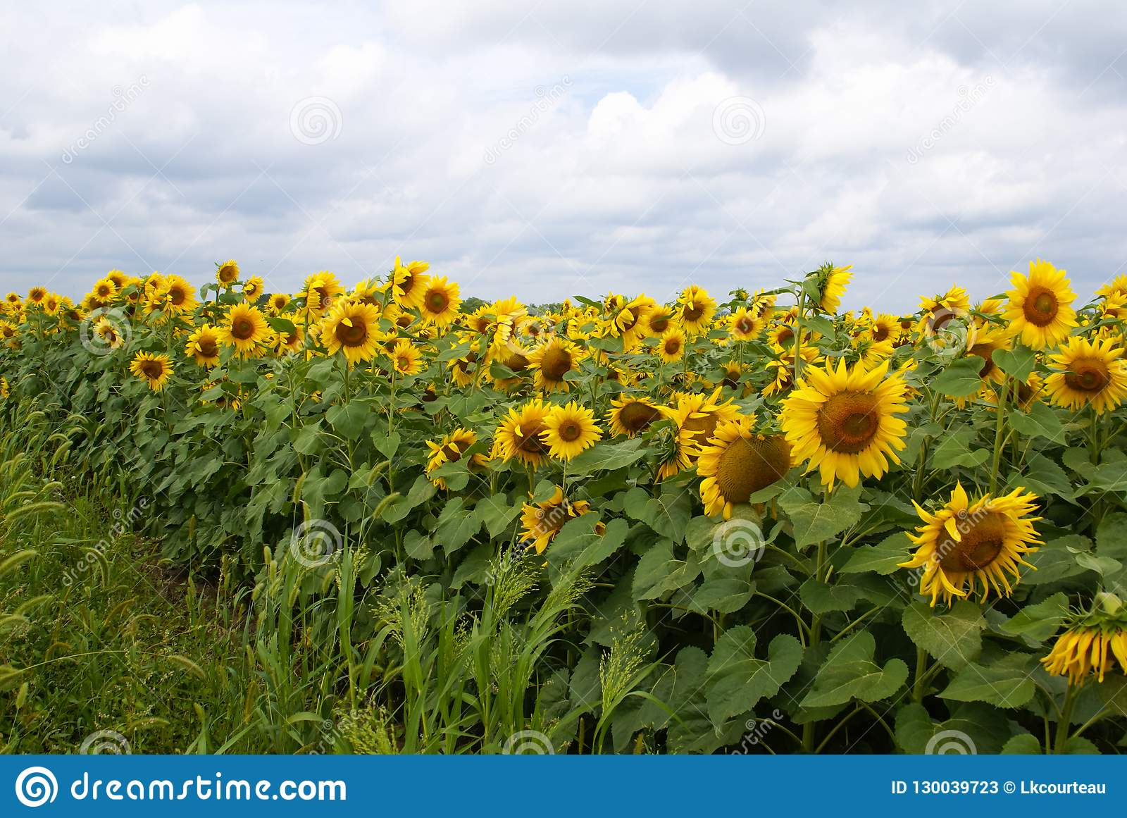 Blomma fältet av gula solrosor under en solig himmel som är full av moln