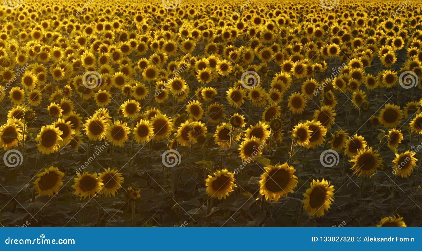 Blomma fältet av solrosor i solnedgången