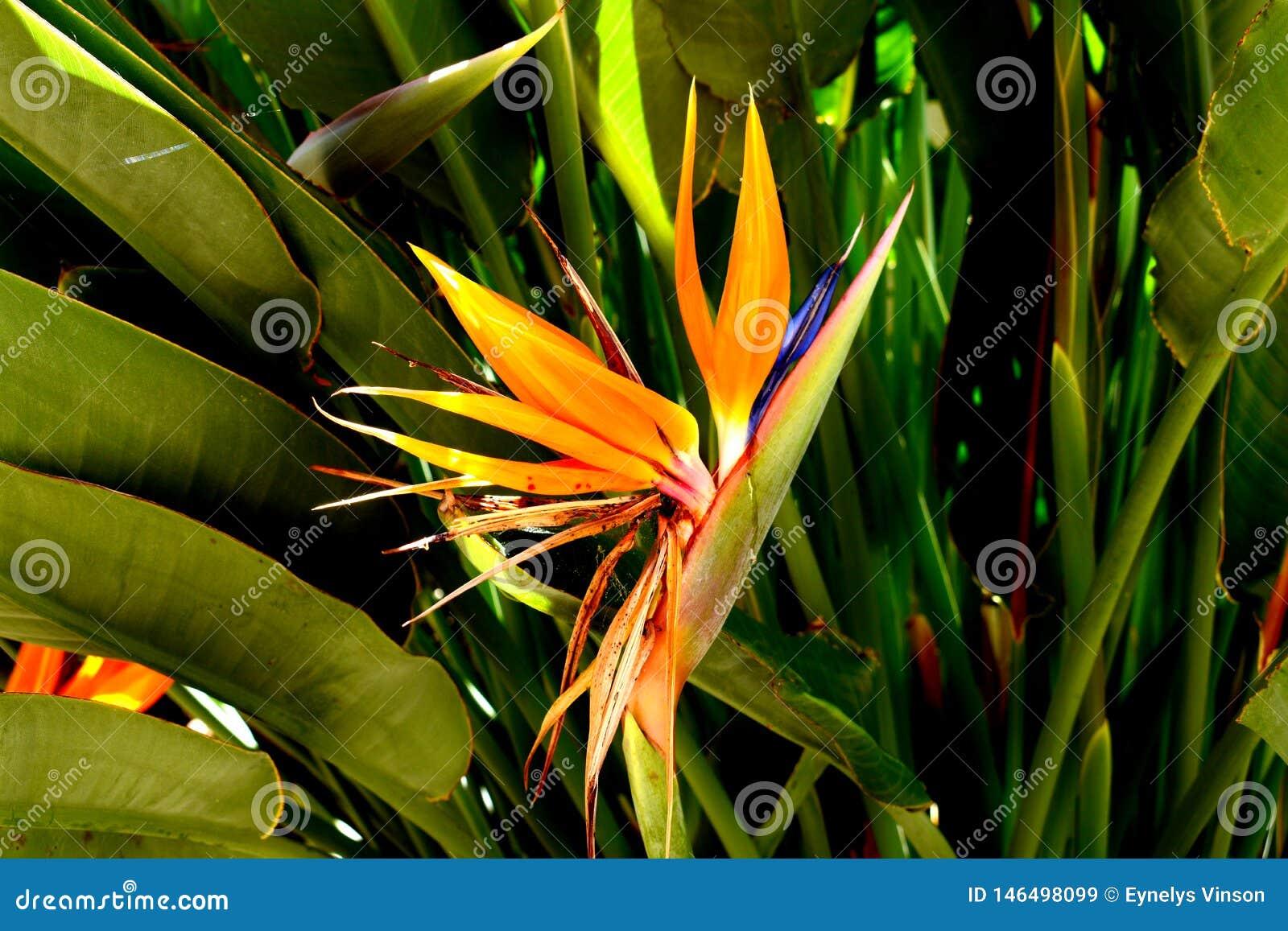 Blomma f?geln av den Paradise v?xten