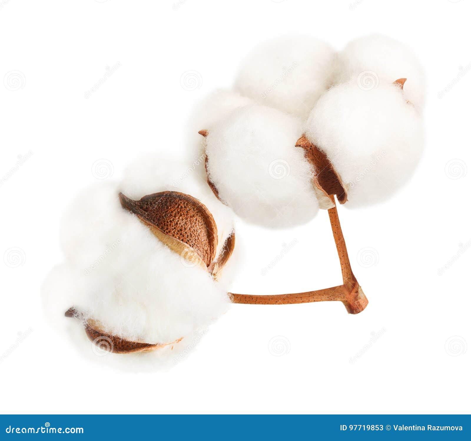 Blomma för bomullsväxt