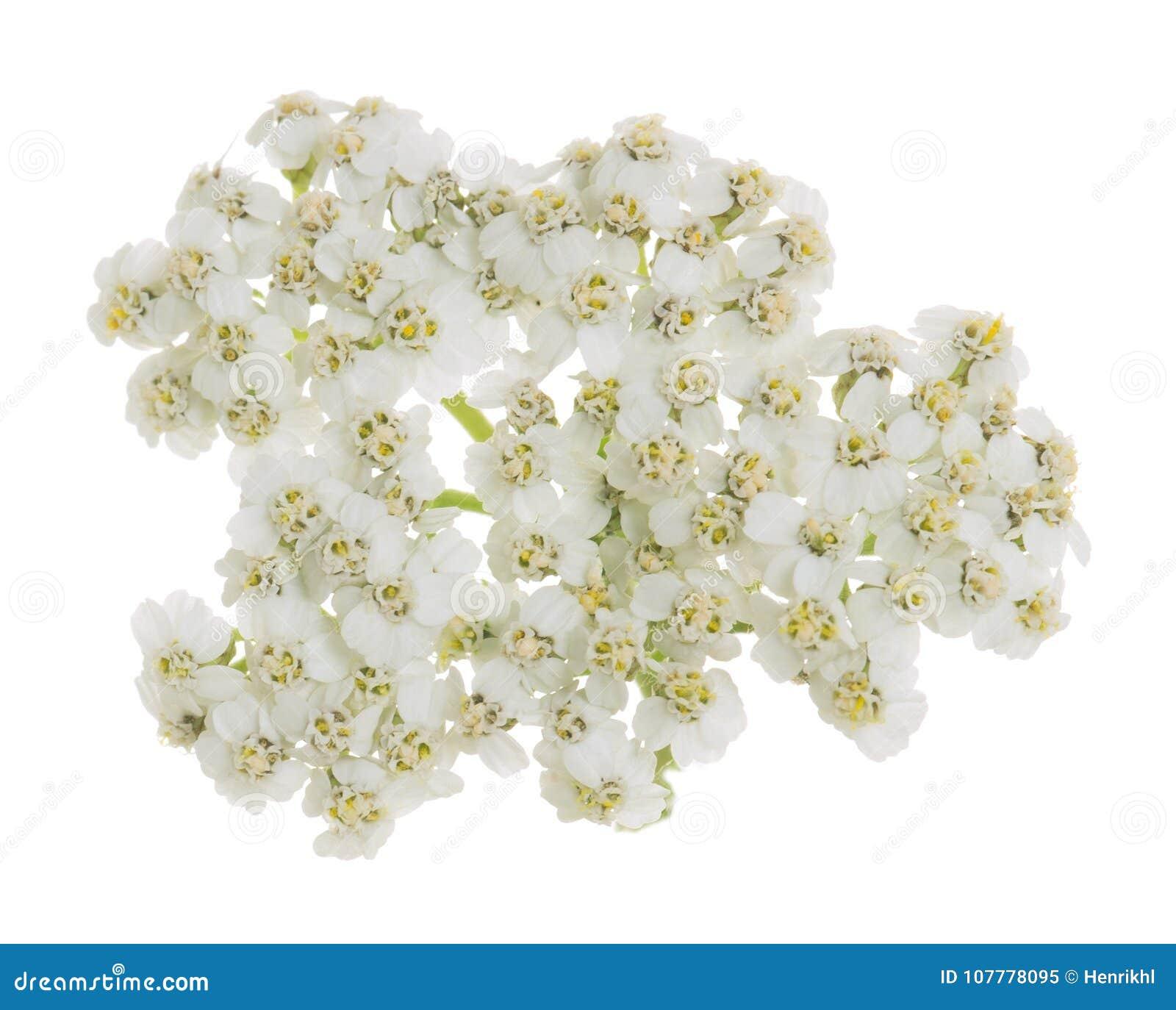 Blomma för gemensam yarrow som isoleras på vit bakgrund