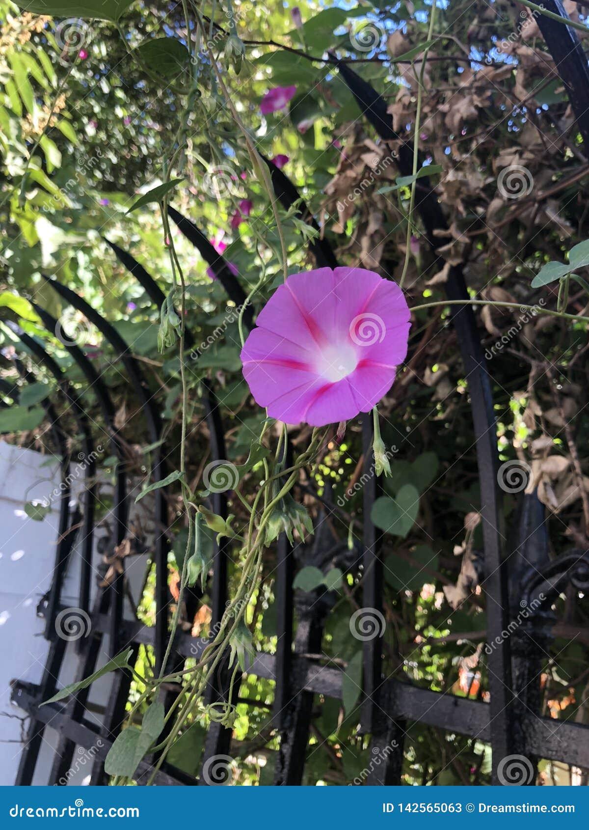 Blomma för morgonhärlighet i den sunning morgonen