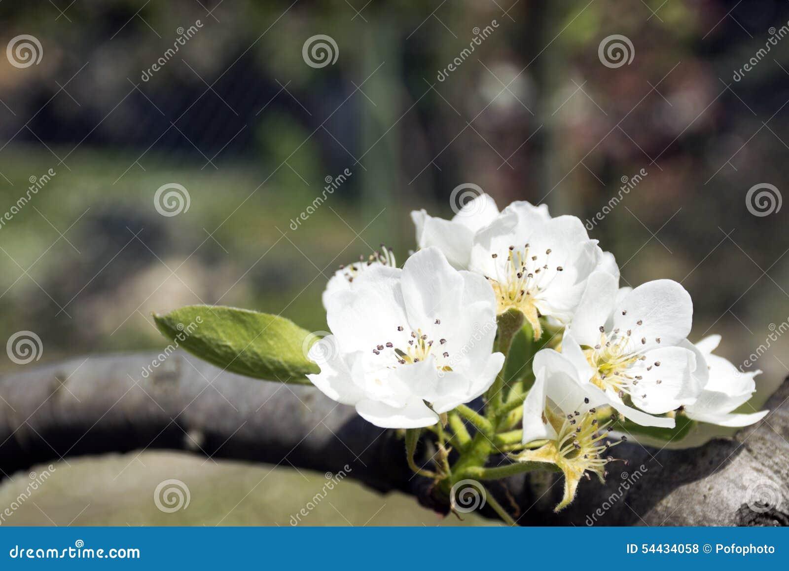 Blomma för päronträd