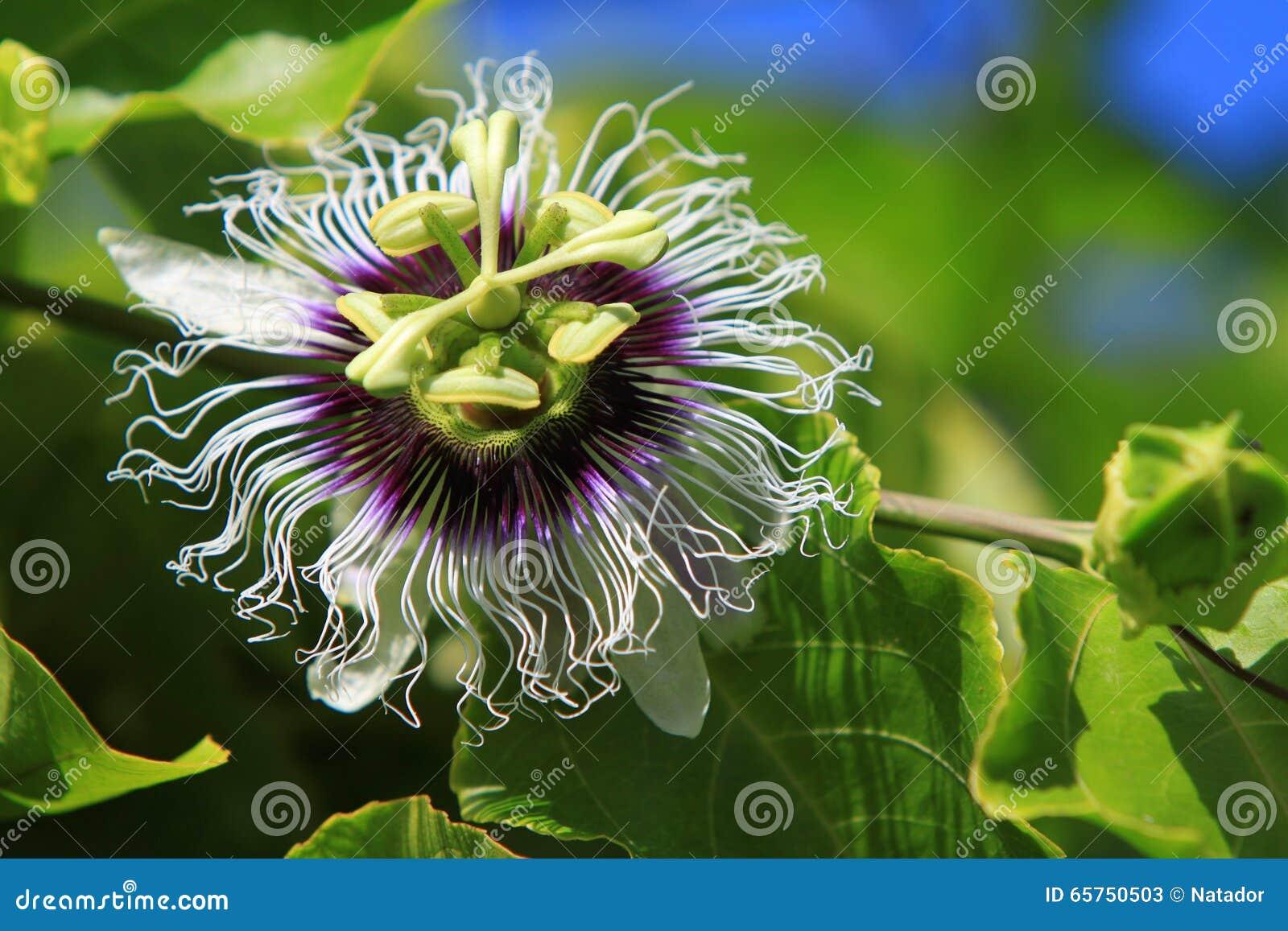 Blomma för passionfrukt