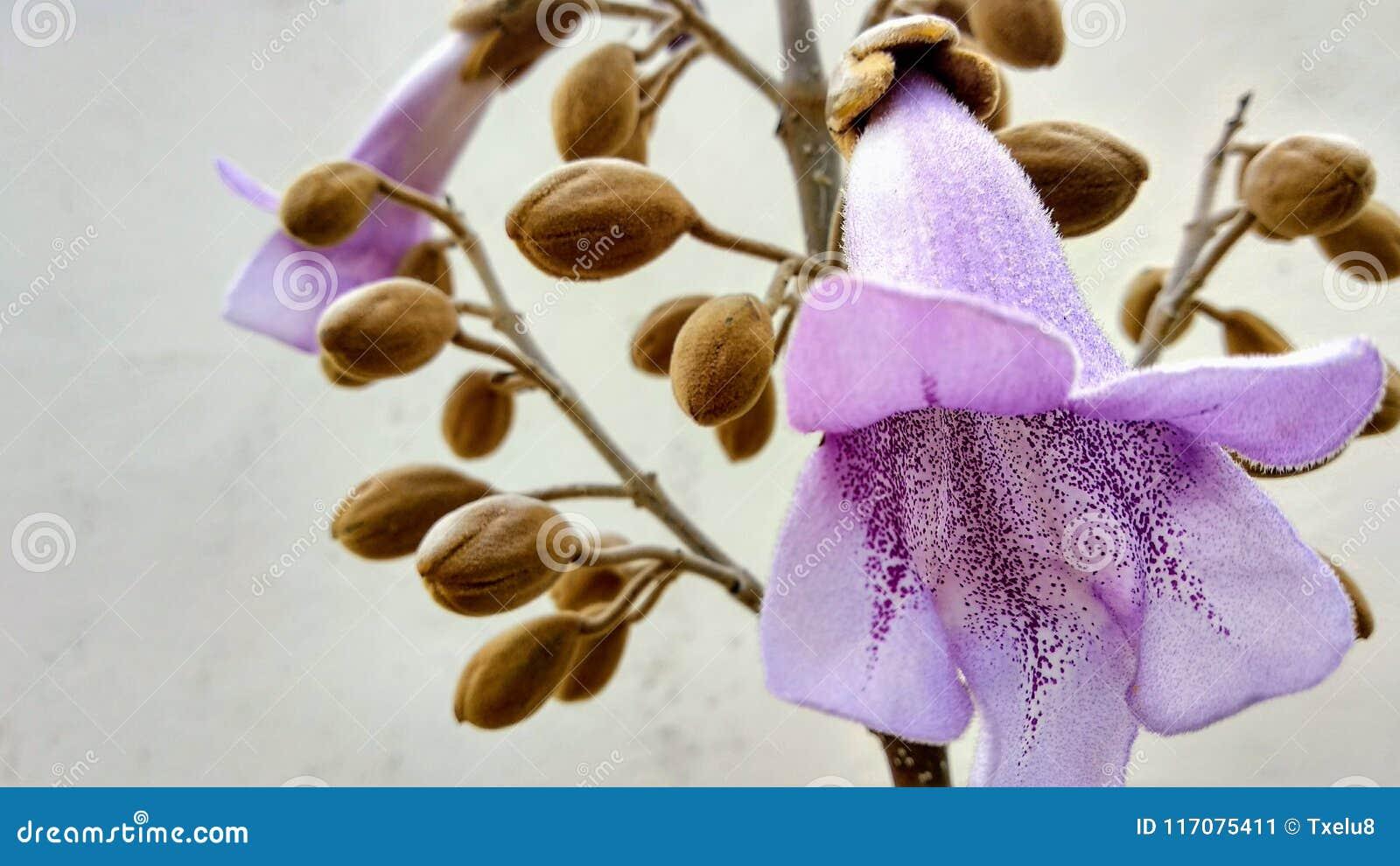 Blomma för Paulownia` s