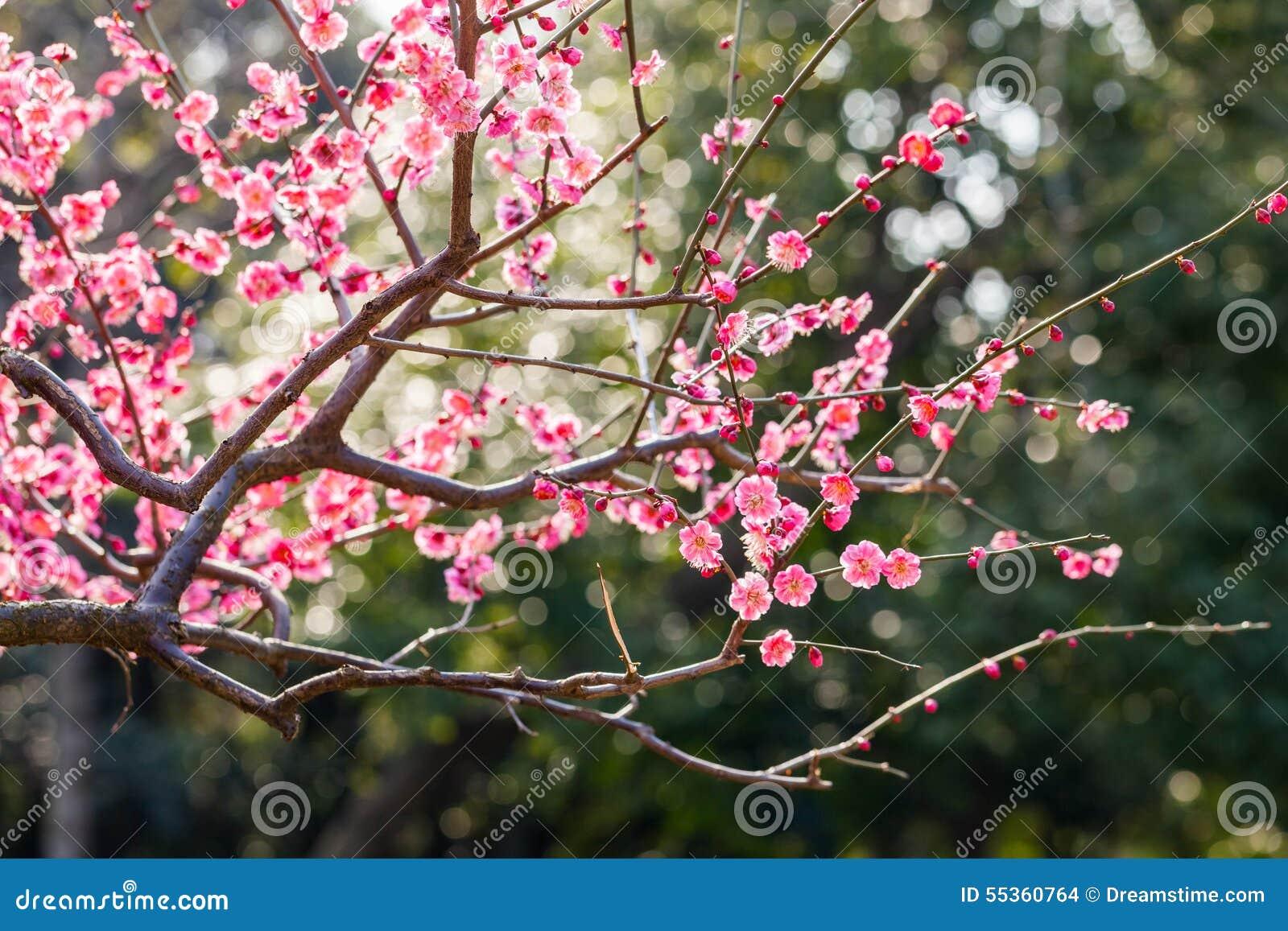 Blomma för plommonblomma