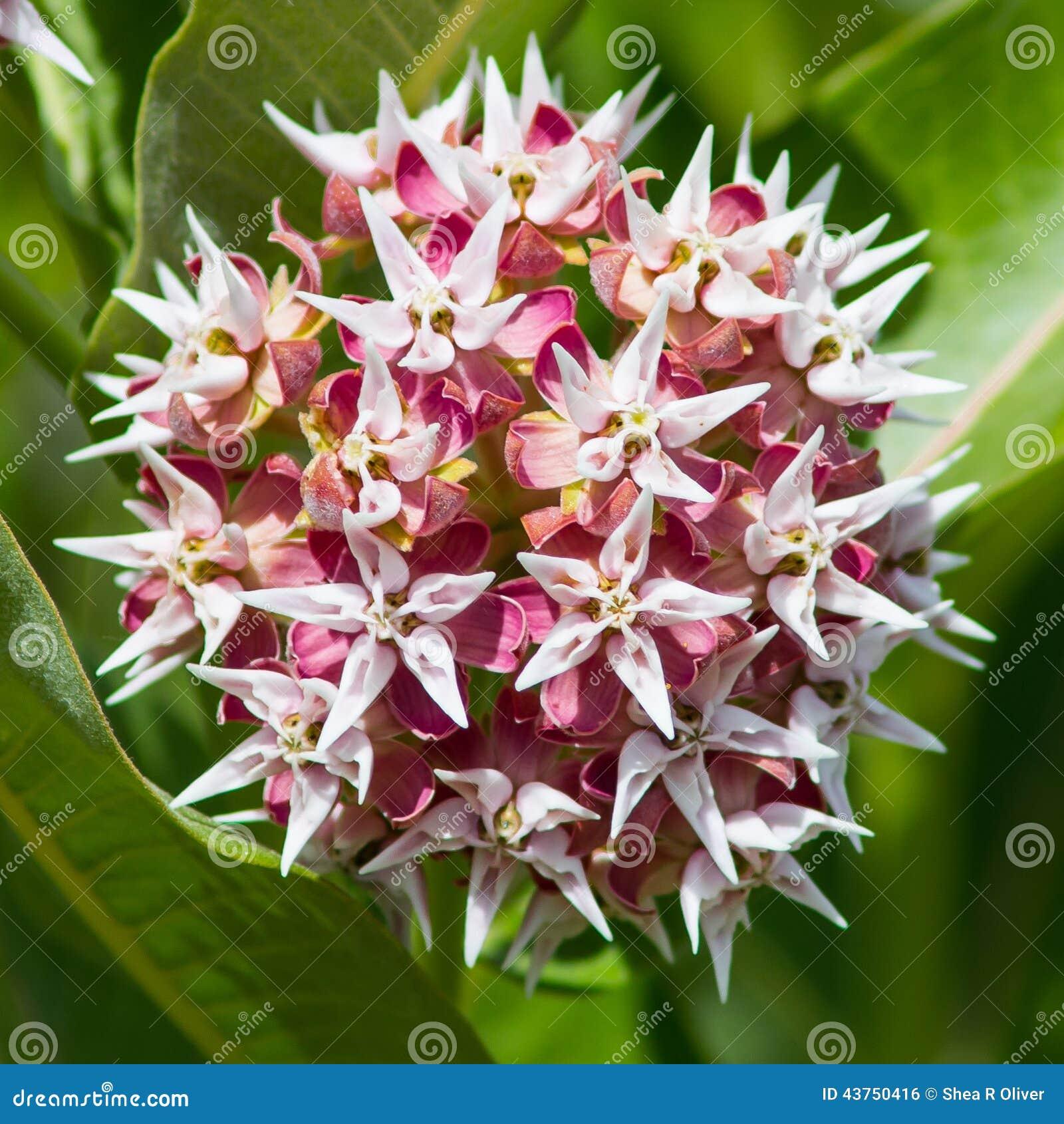 Blomma för prålig Milkweed