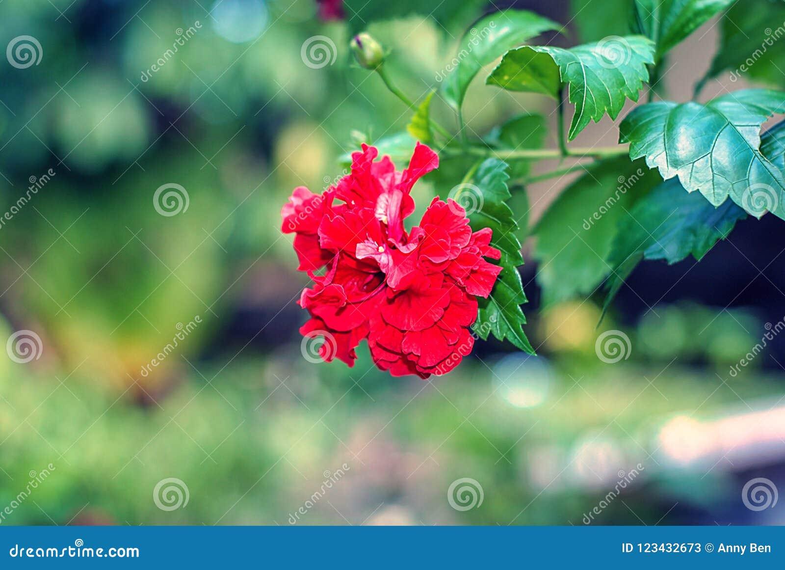 Blomma för ros för för skoblommahibiskus eller kines