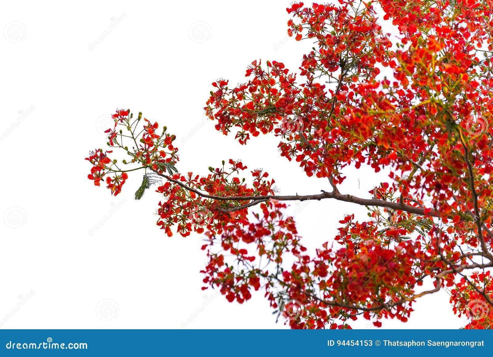 Blomma för träd för Caesalpiniapulcherrimaflamma som isoleras