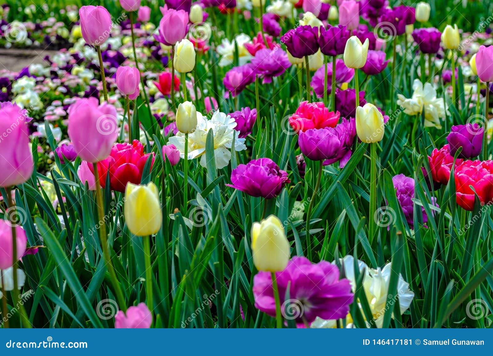 Blomma för tulpan och Rose Start