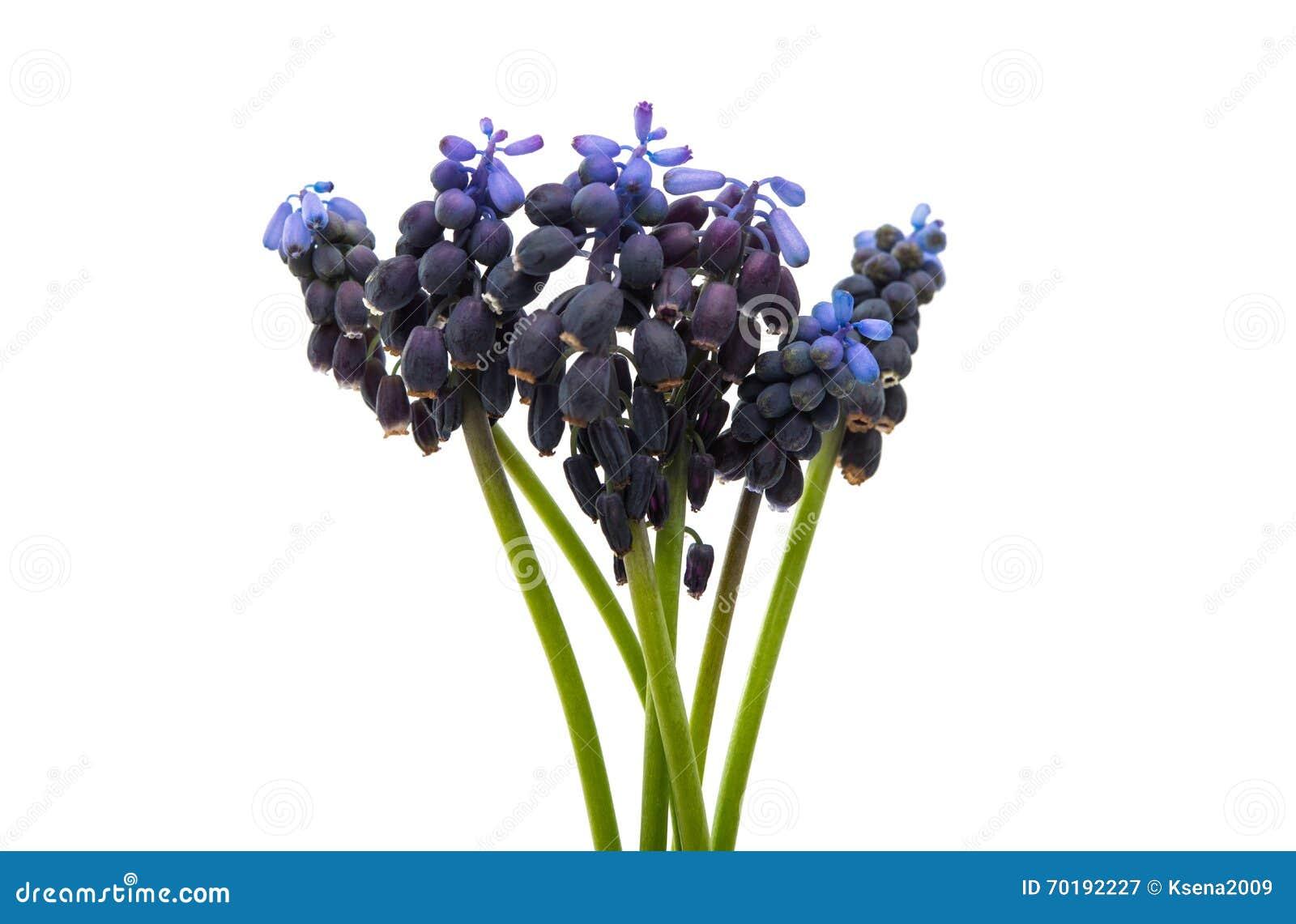 Blomma för våränglilor