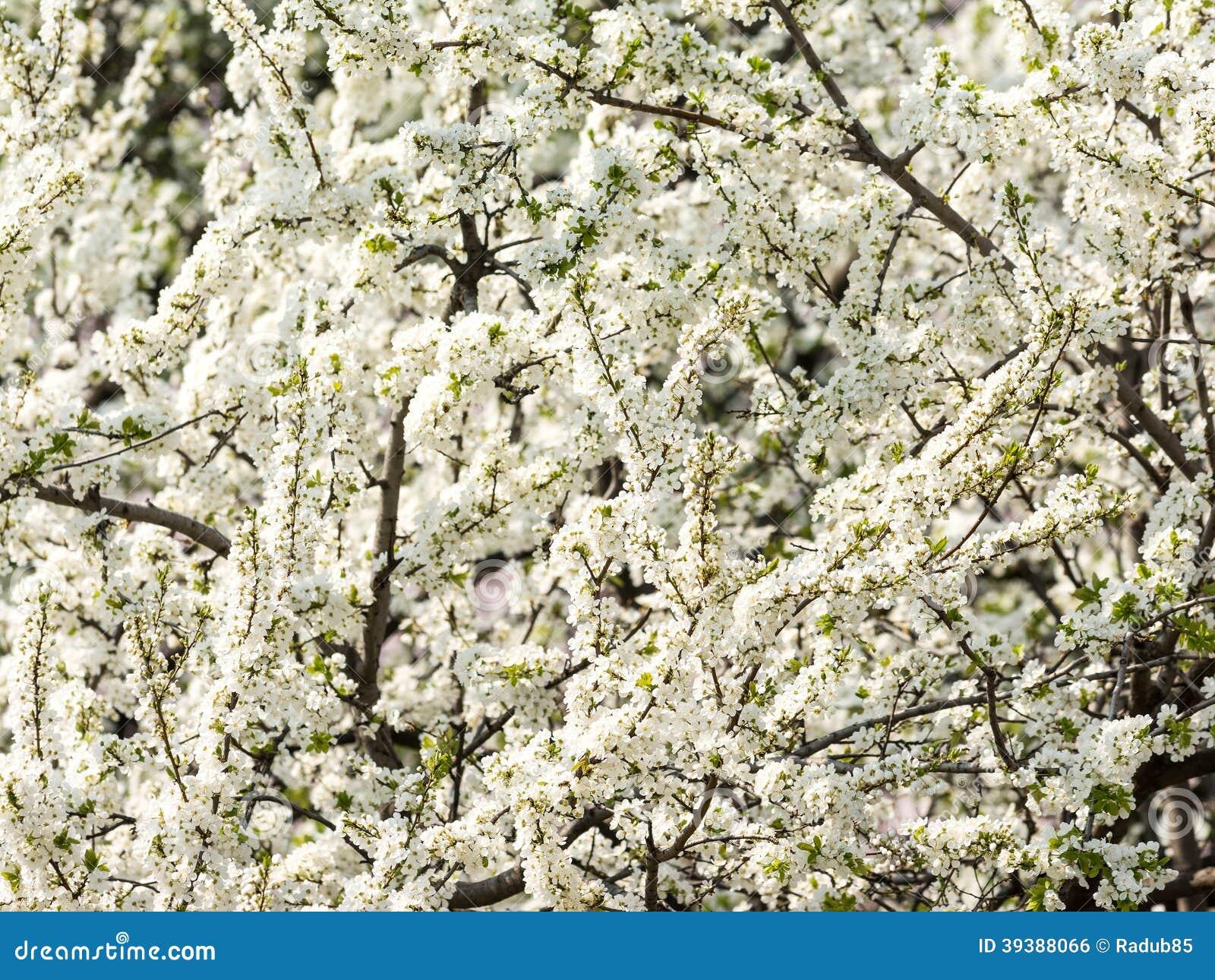 träd med vita blommor