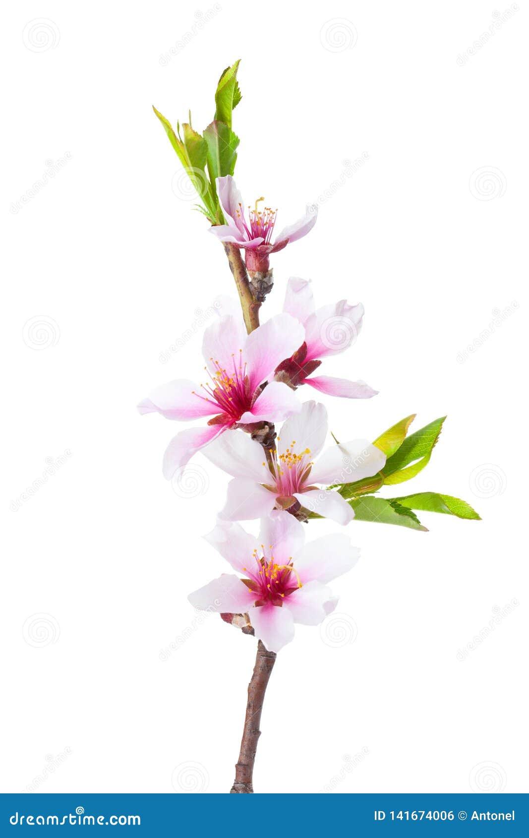 Blomma filialen av mandeln som isoleras på vit bakgrund