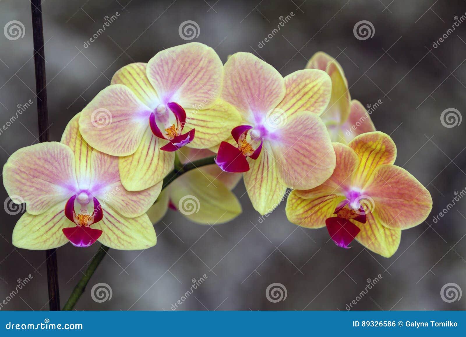 Blomma filialen av orkidéphalaenopsis