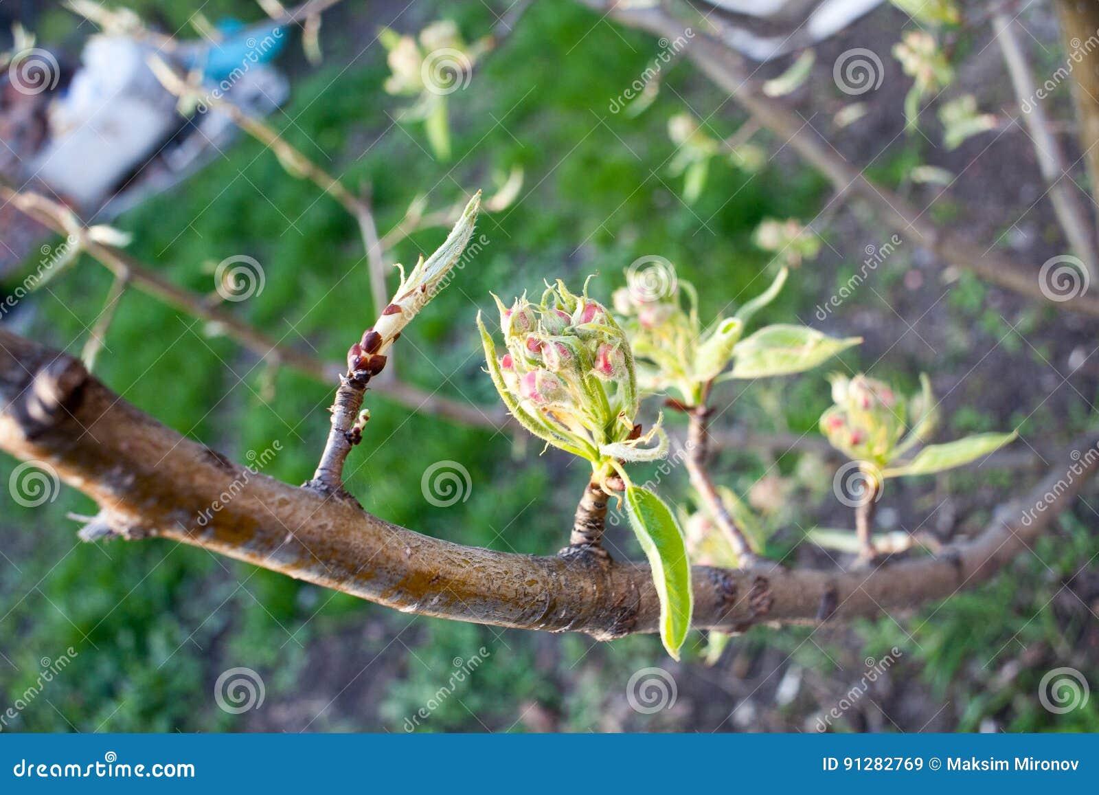 Blomma filialen av päronet Att blomma fjädrar trädgården