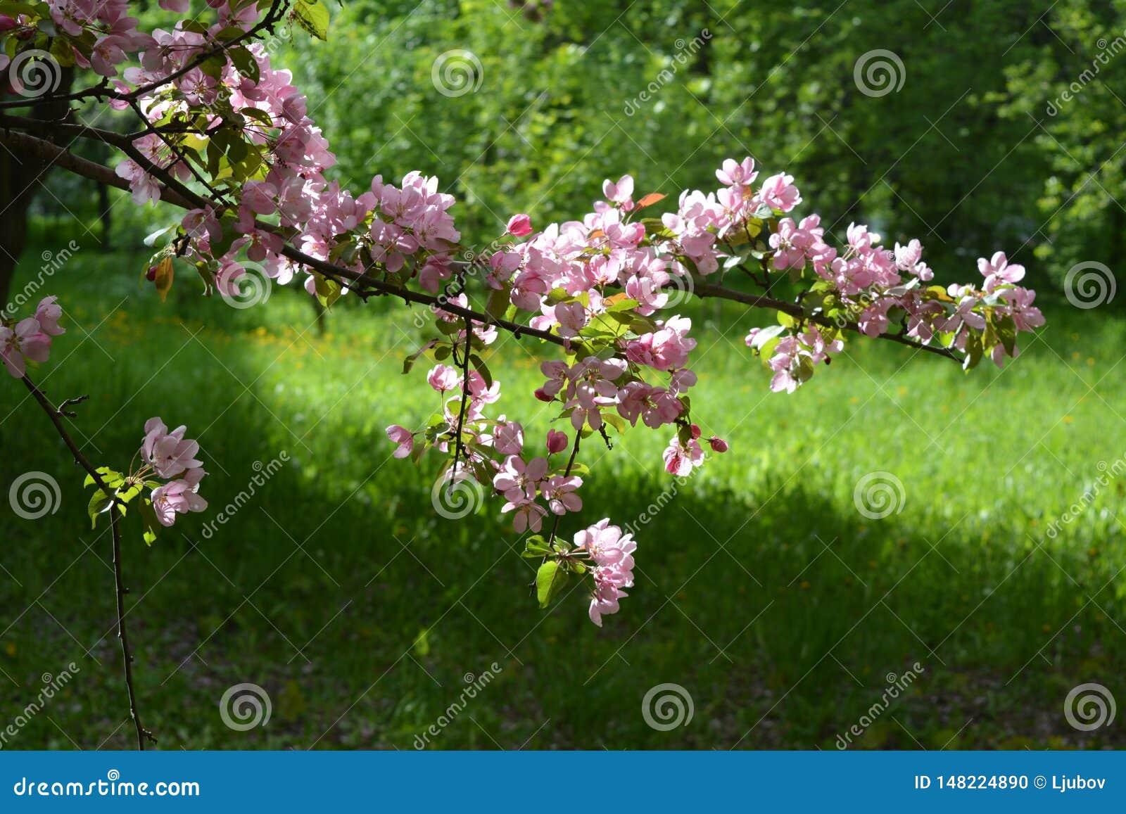 Blomma fj?dertree f?r ?pple Malus Niedzwetzkyana Filial med rosa blommor på bakgrunden av grönt gräs