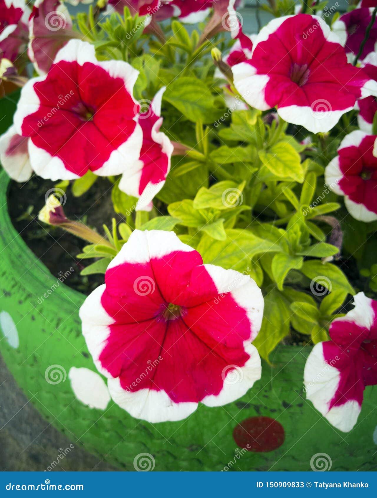 Blomma från en plast- flaska Garnering för trädgården gör den själv Återanvända plast- Dekoren av avfallsen blommar vasen