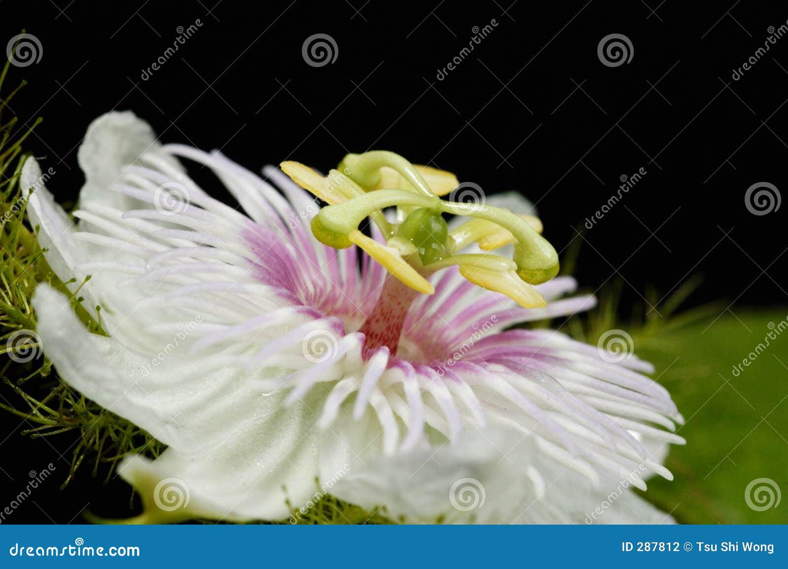 Blomma fruktpassion