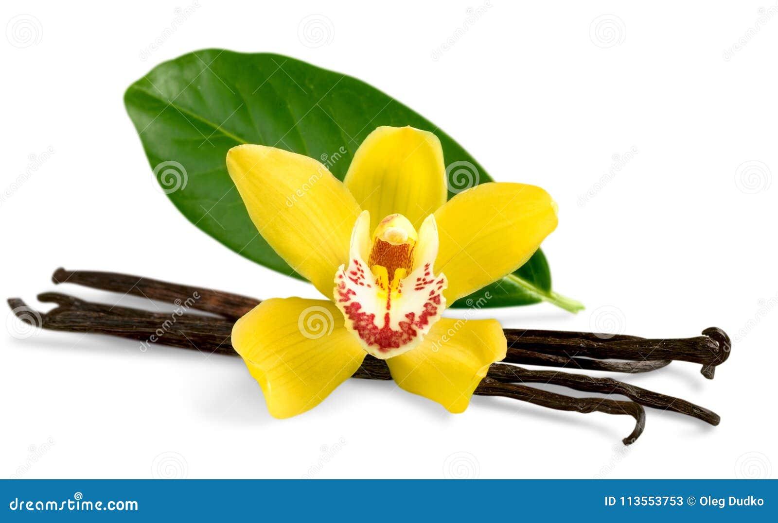 Blomma isolerad fröskidavaniljwhite