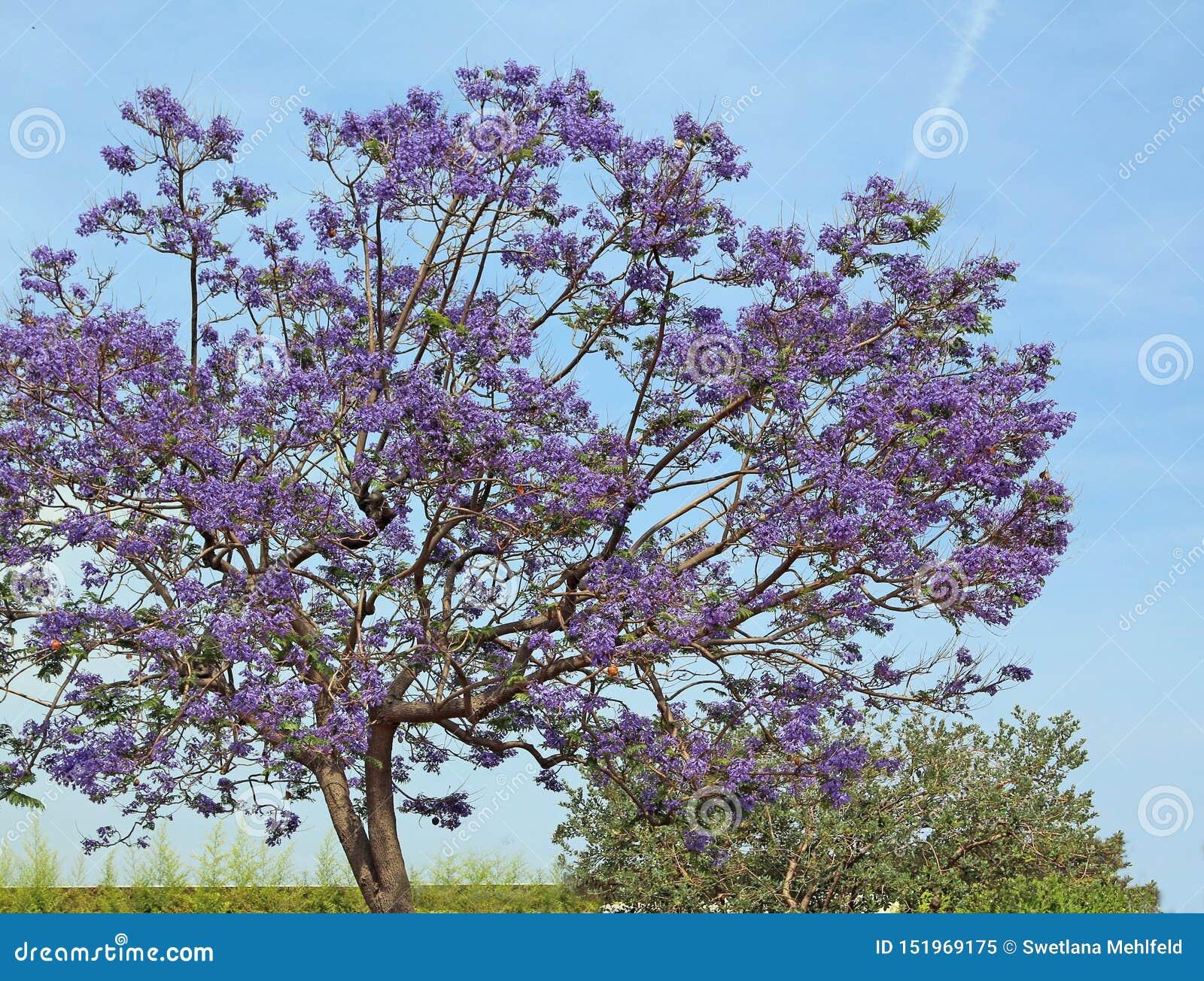 Blomma jakarandaträdet mot den blåa himlen