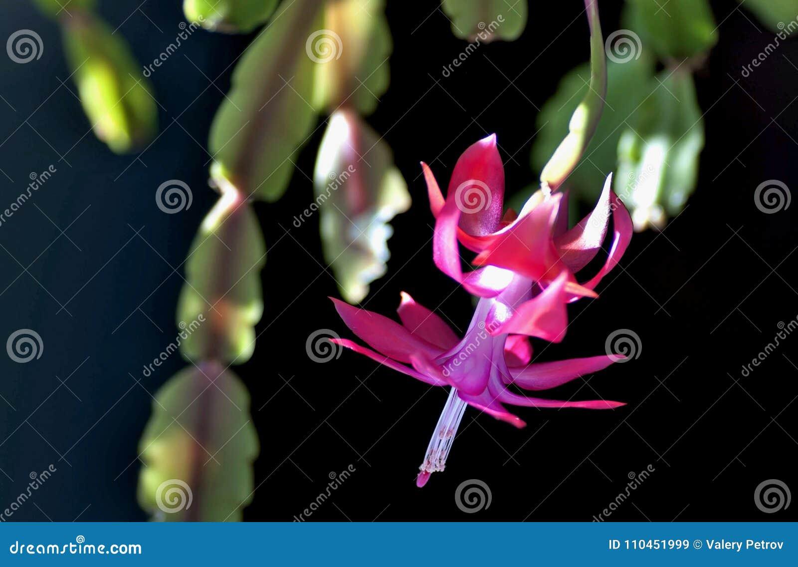 Blomma julkaktuns