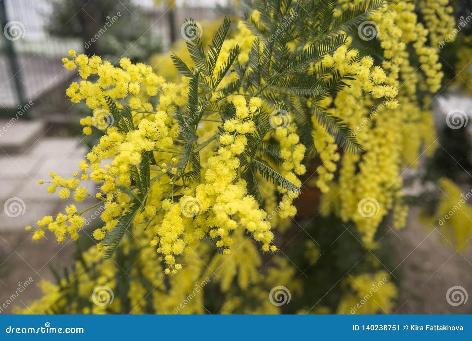 Blomma mimosan i trädgården i vår Trädgård som arbeta i trädgården Vårferieblomning