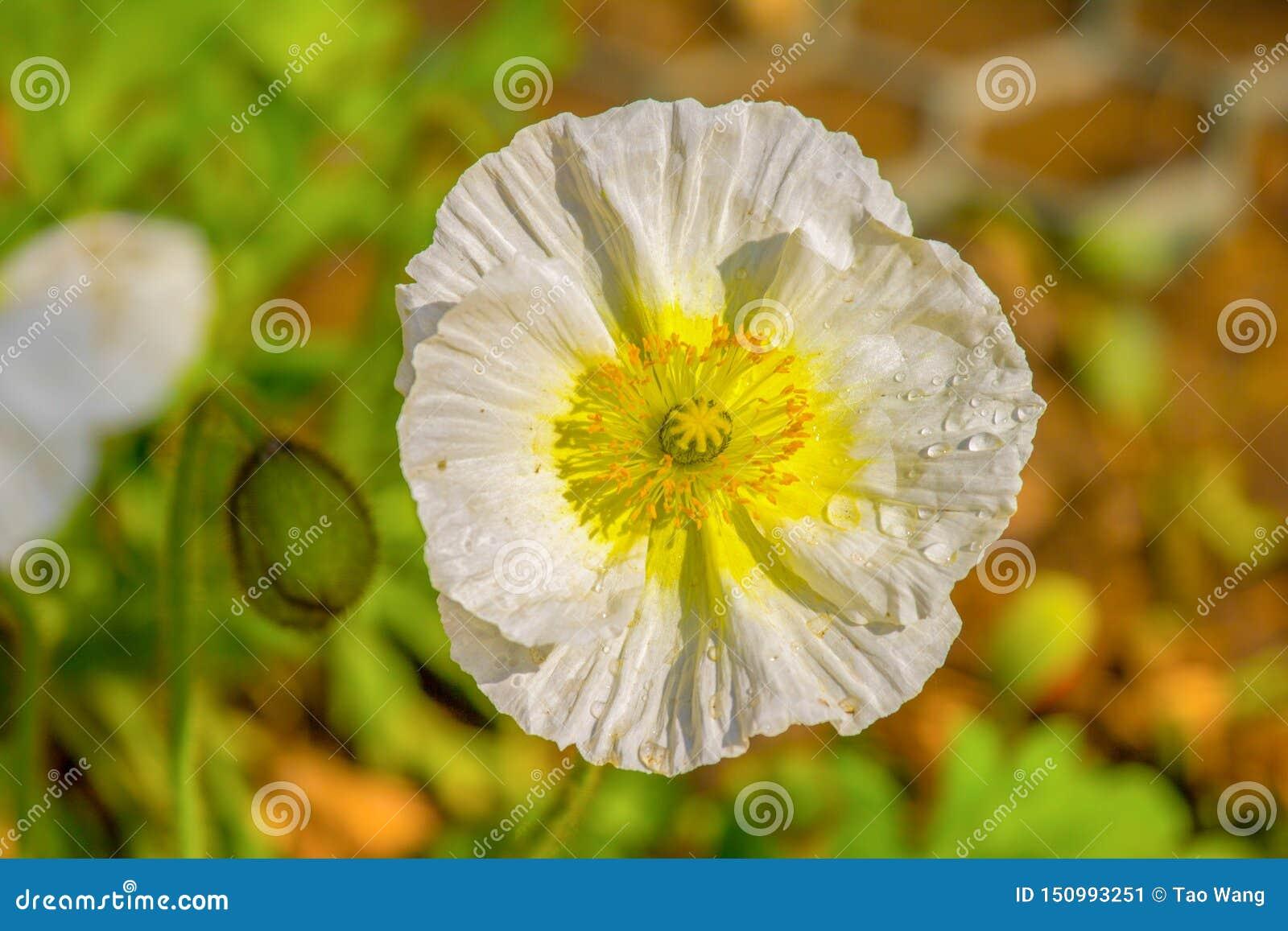 Blomma natur, vit, växt, vår, tusensköna, guling, gräsplan, blommor, sommar, trädgård, flora, blomning, blom, closeup, makro, skö