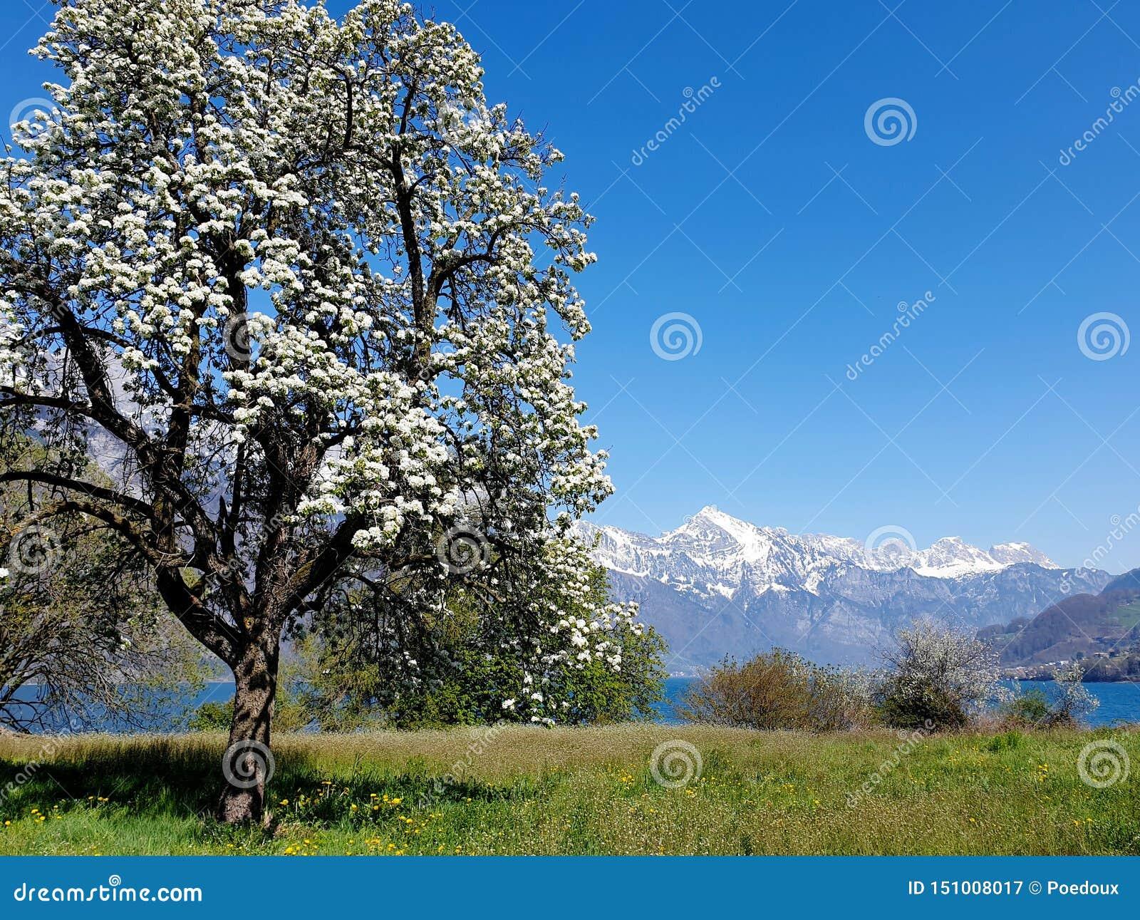 Blomma päronträdet, snöig maxima, i - mellan den djupblå Walenseen