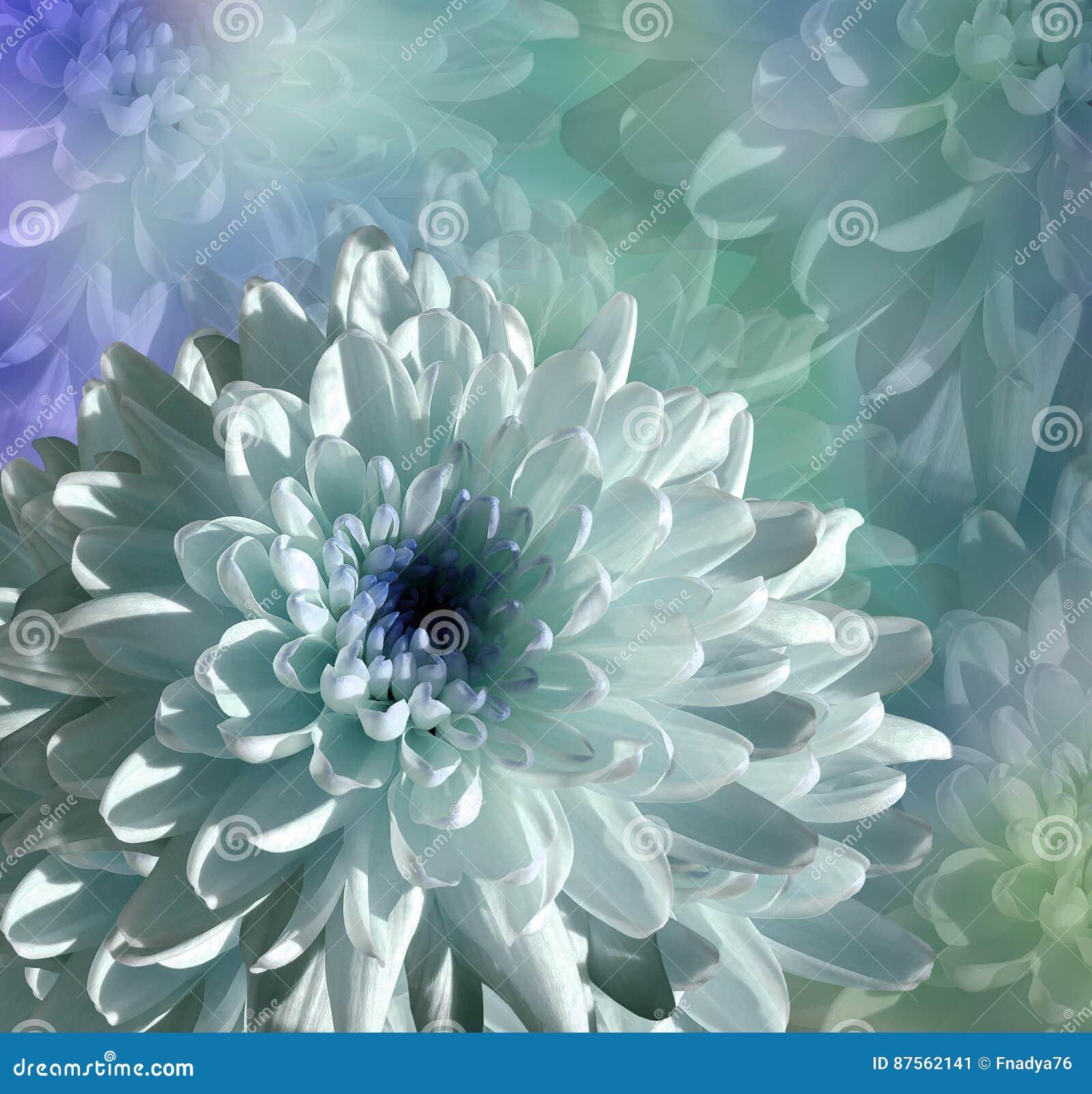 Blomma på blått-turkos bakgrund vit-blått blommakrysantemum blom- collage vita tulpan för blomma för bakgrundssammansättningsconv