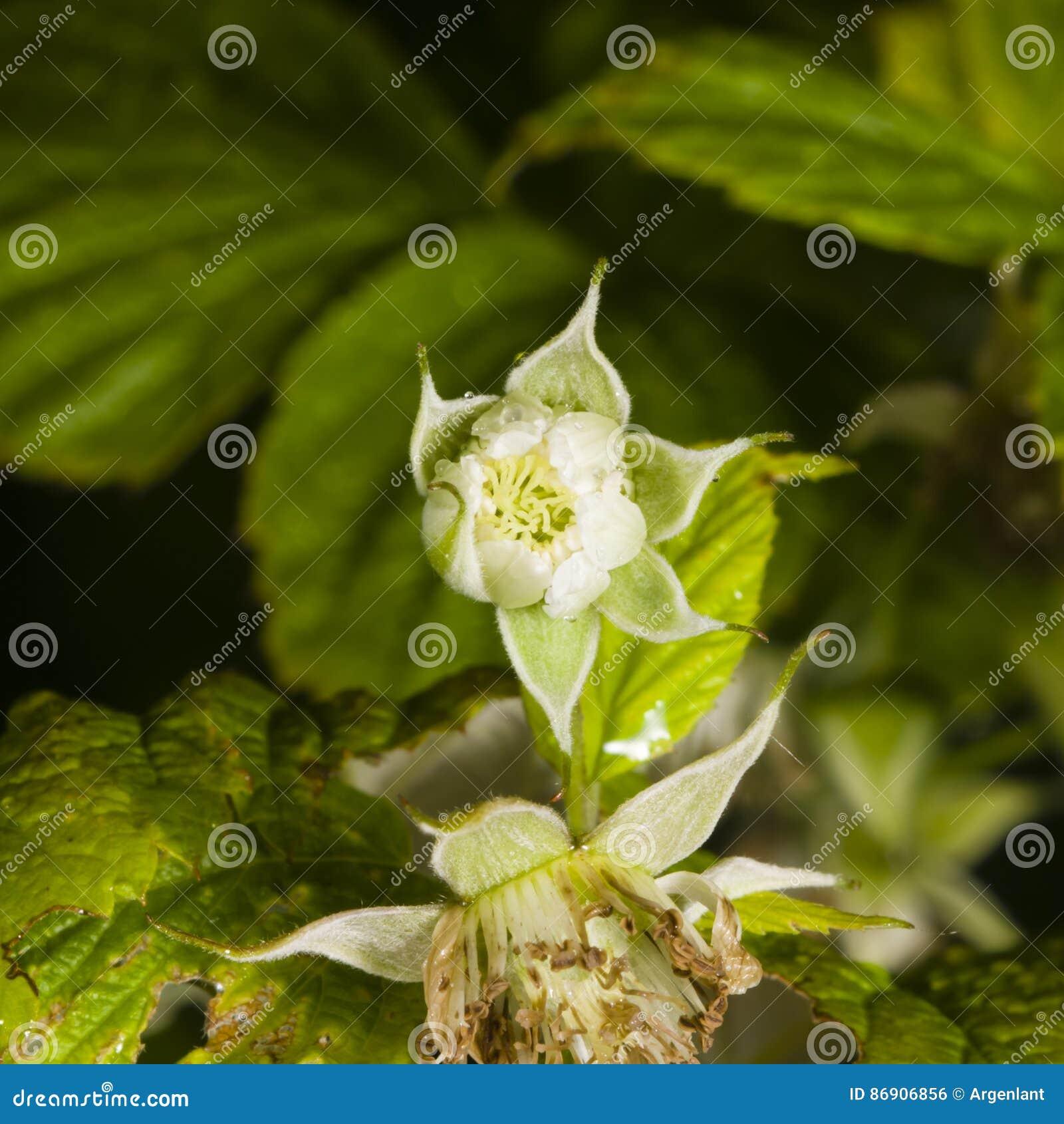 Blomma på det röda hallonet, Rubusidaeus, med bokehbakgrundsmakro, den selektiva fokusen, grund DOF