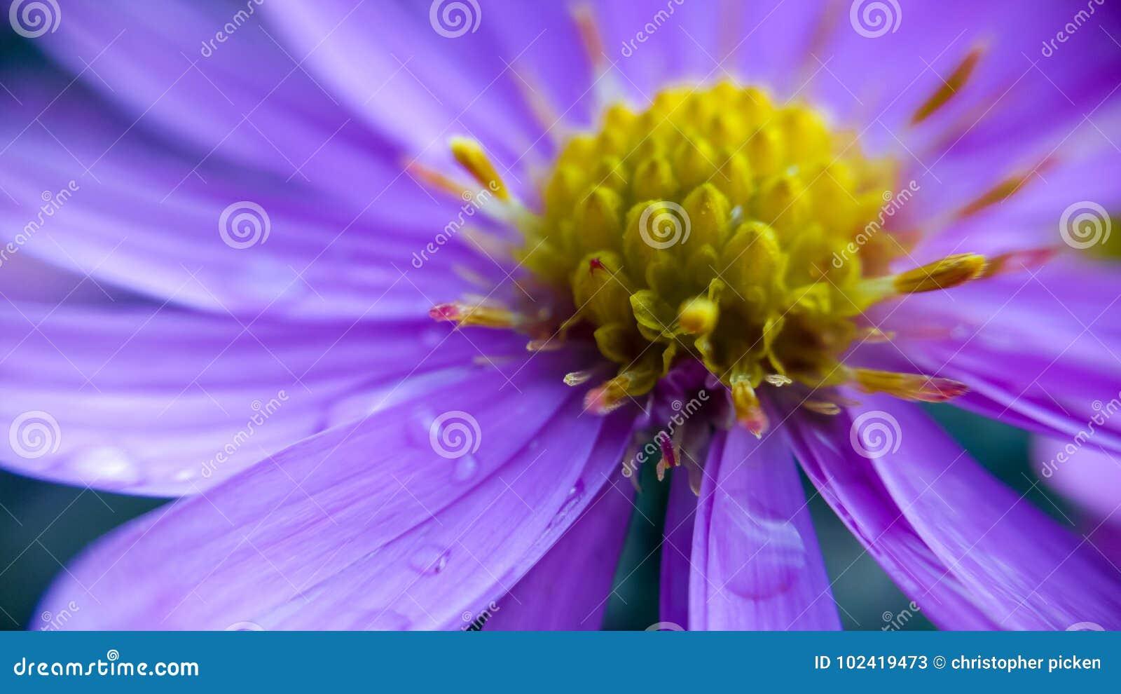 Blomma purplen